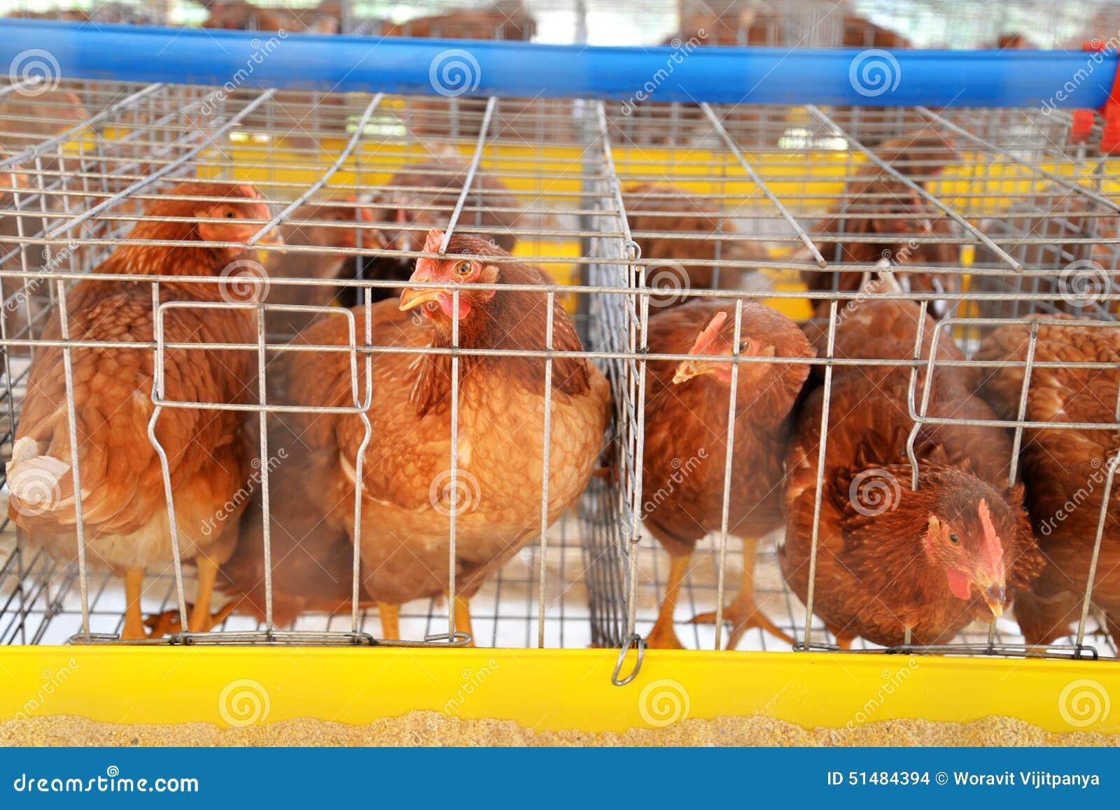 De eieren van de landbouwbedrijfkip