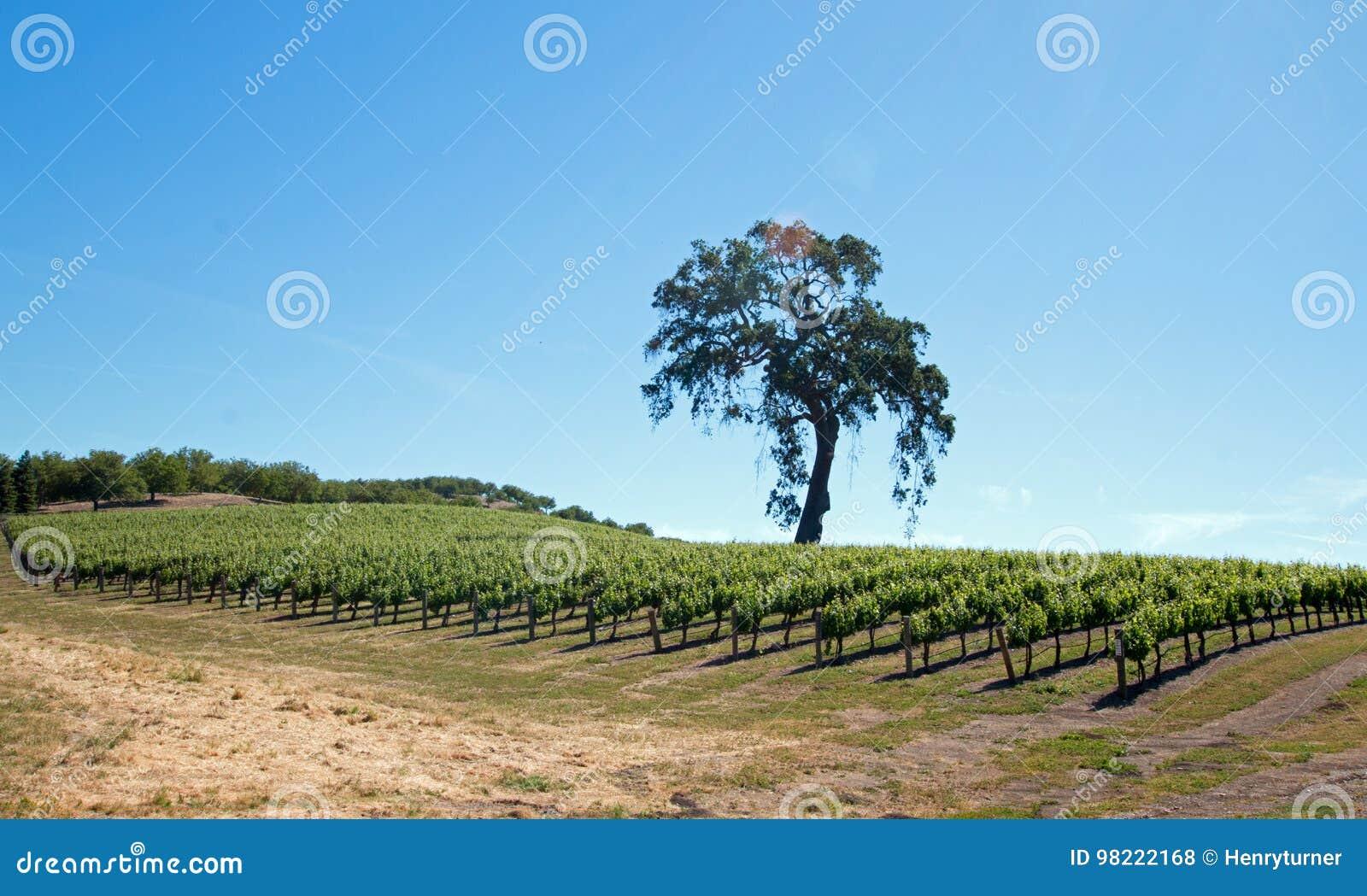 De Eiken Boom van Californië in wijngaarden onder blauwe hemel in de wijnland van Paso Robles in Centraal Californië de V.S.