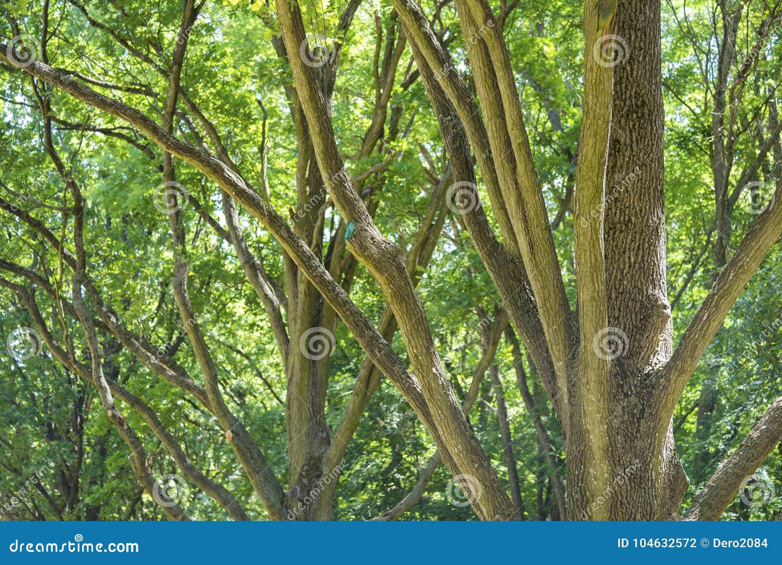 Download De Eiken Boom Vertakt Zich, Dendrological-Park Van De Nationale Reserve Askania-Nova, De Oekraïne Stock Foto - Afbeelding bestaande uit genaturaliseerd, blauw: 104632572