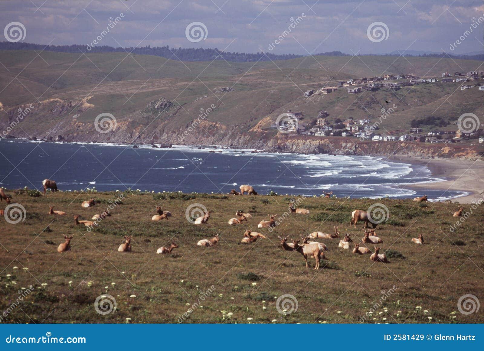 De elanden van Tule bij kust