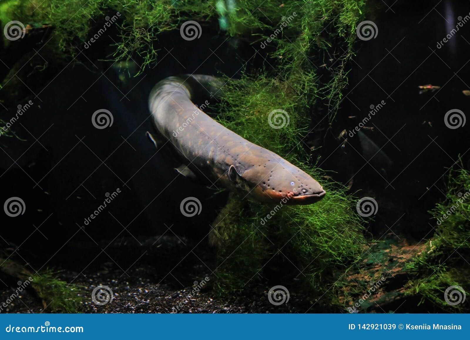 De elektrische paling zwom uit van achter de algen