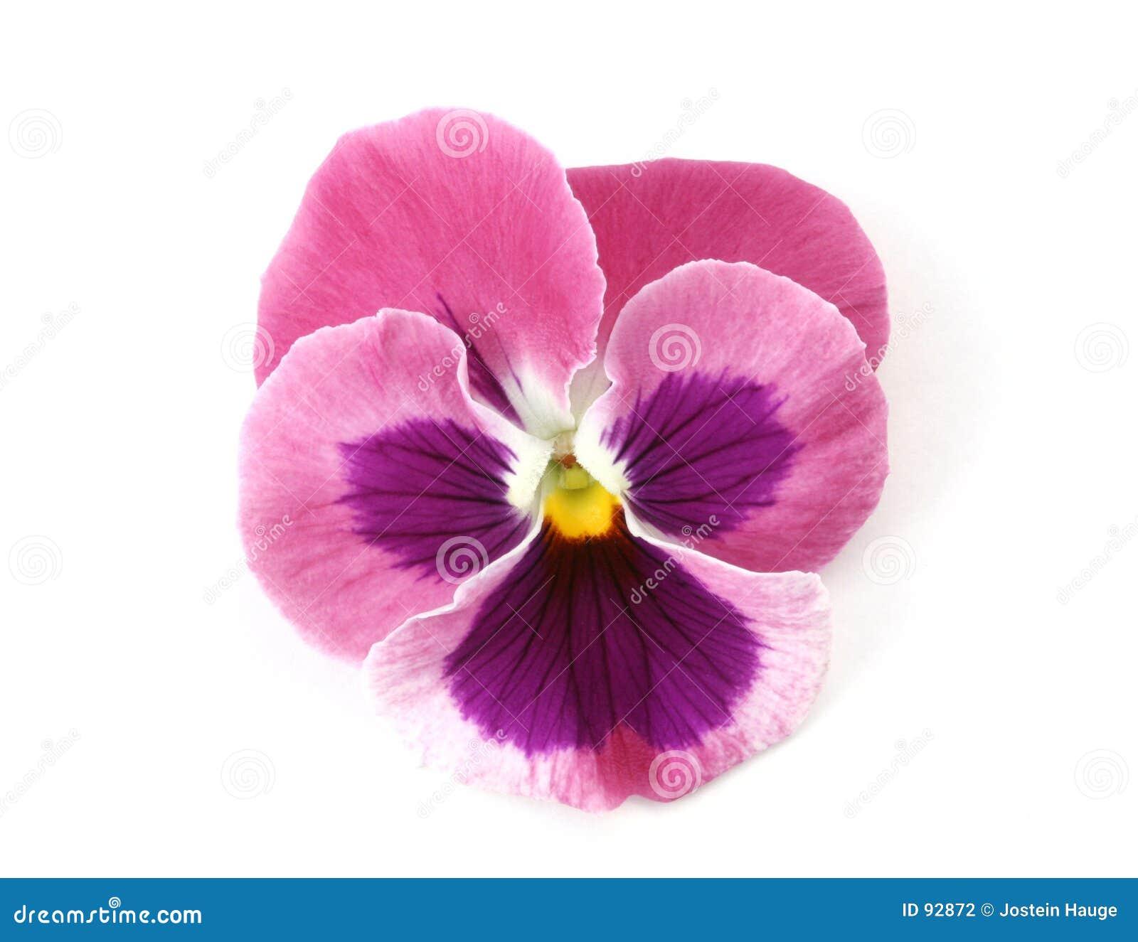 De elementen van het ontwerp roze viooltje stock for Photographie de stock