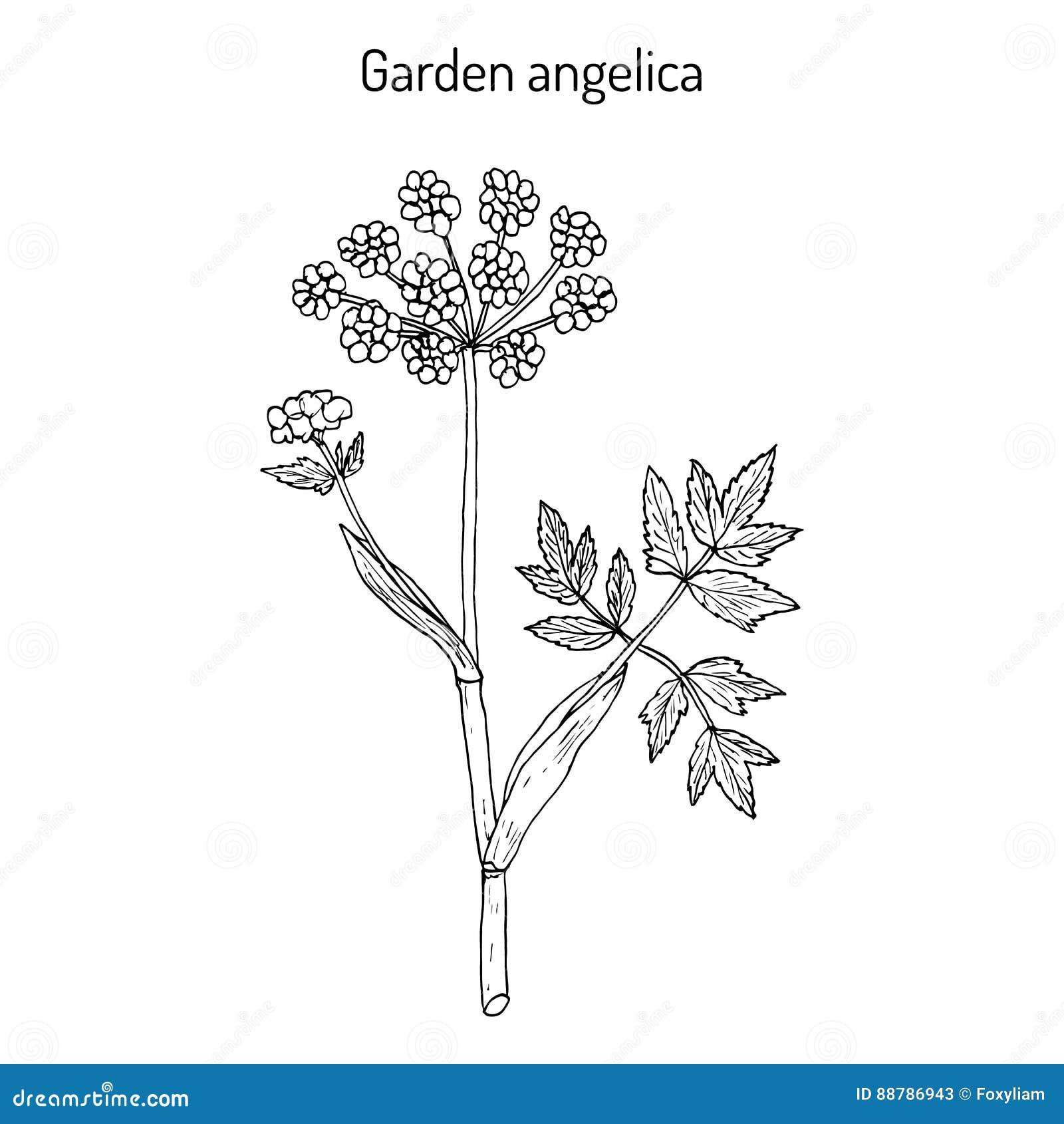 De Engelwortelarchangelica van de tuinengelwortel, of wilde selderie