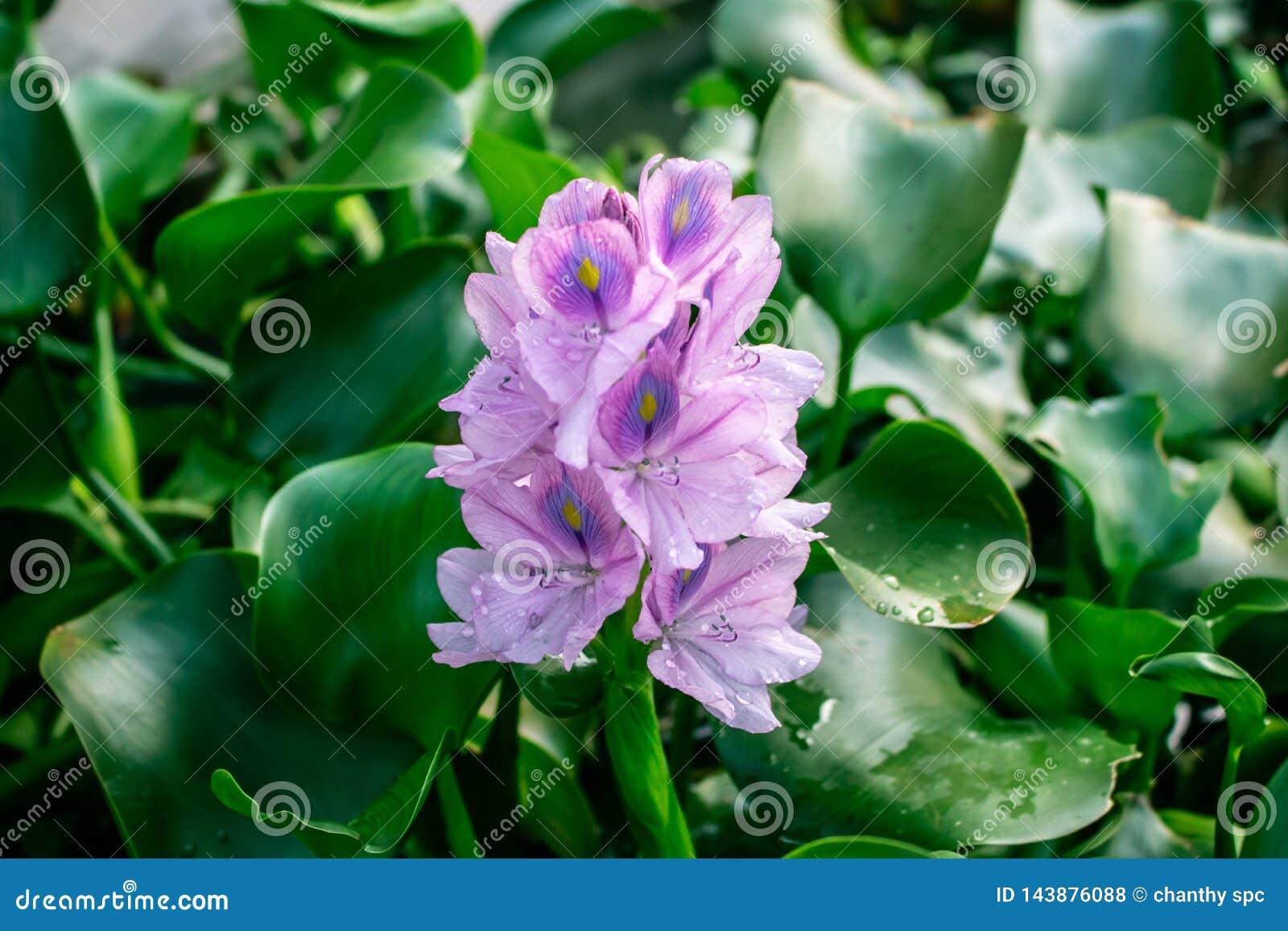 De erwt of het Blauw van de bloemvlinder