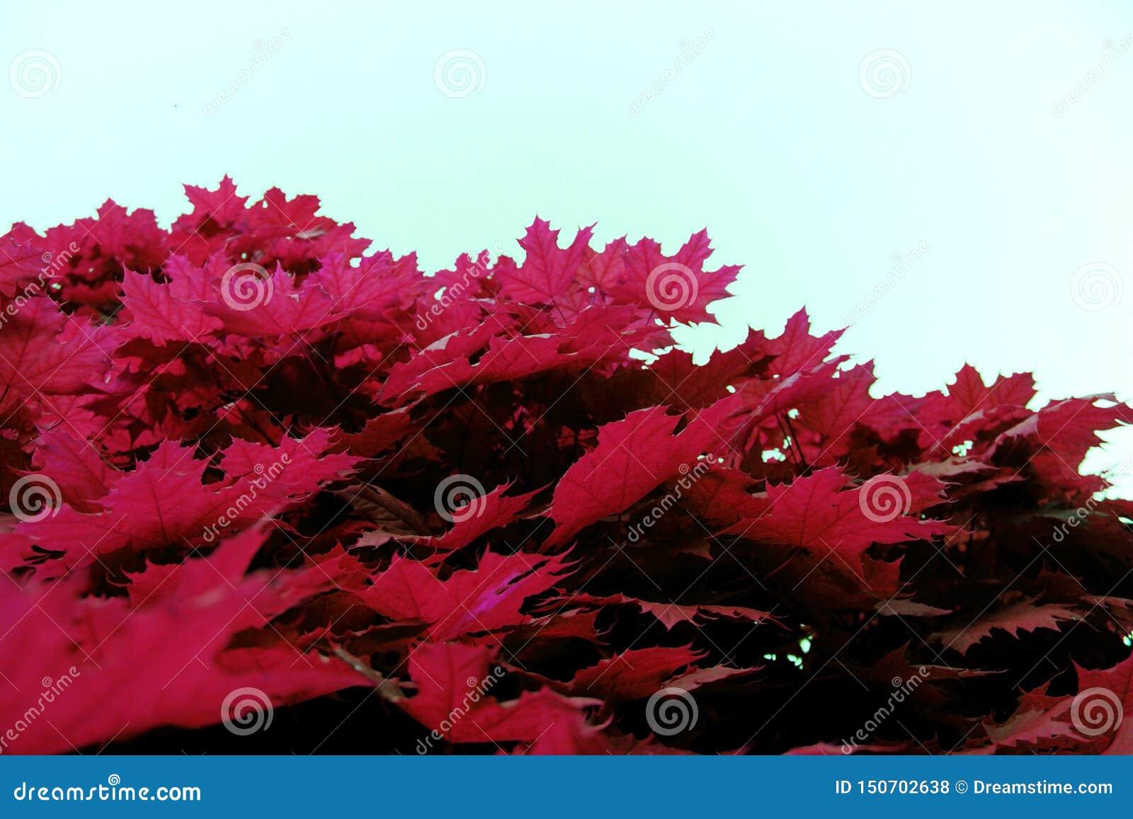 De esdoorn verlaat rode roze gelijkaardige textuur dichte omhooggaande aard