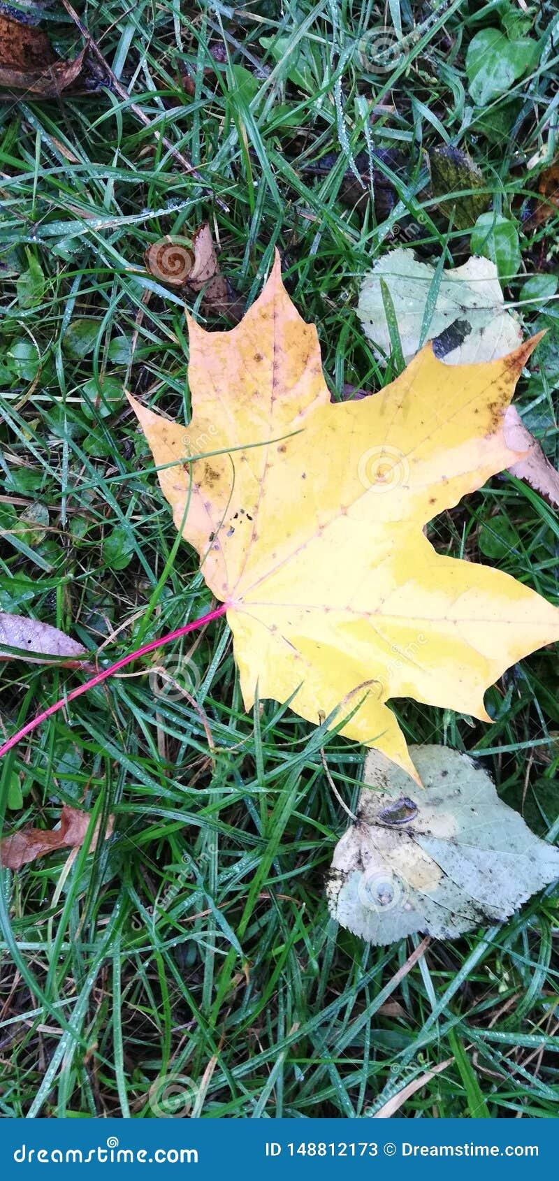 De esdoornblad van de herfst Het is ge?soleerdd