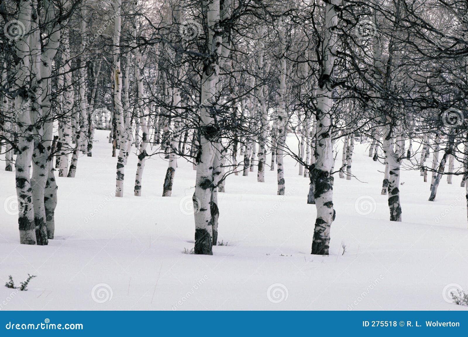 De espen van de winter