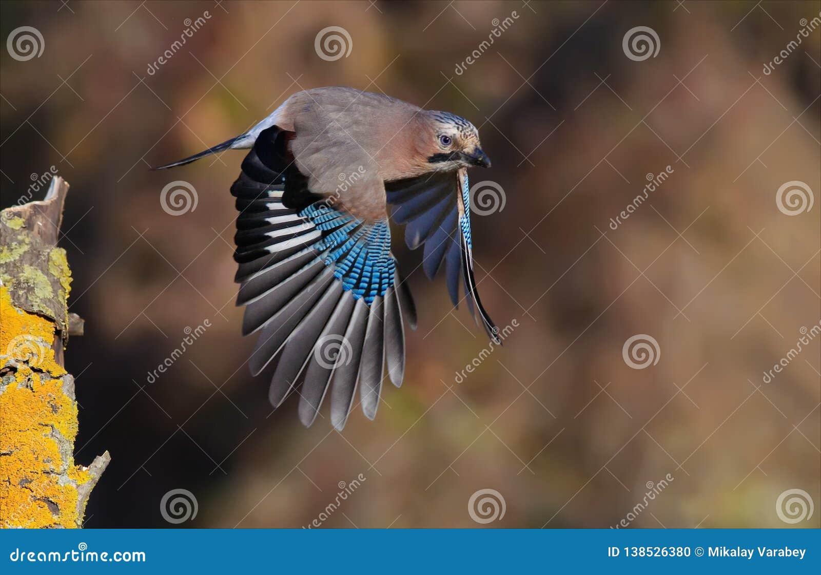 De Europees-Aziatische Vlaamse gaai die opstijgen met strretched vleugels van tak in de herfst
