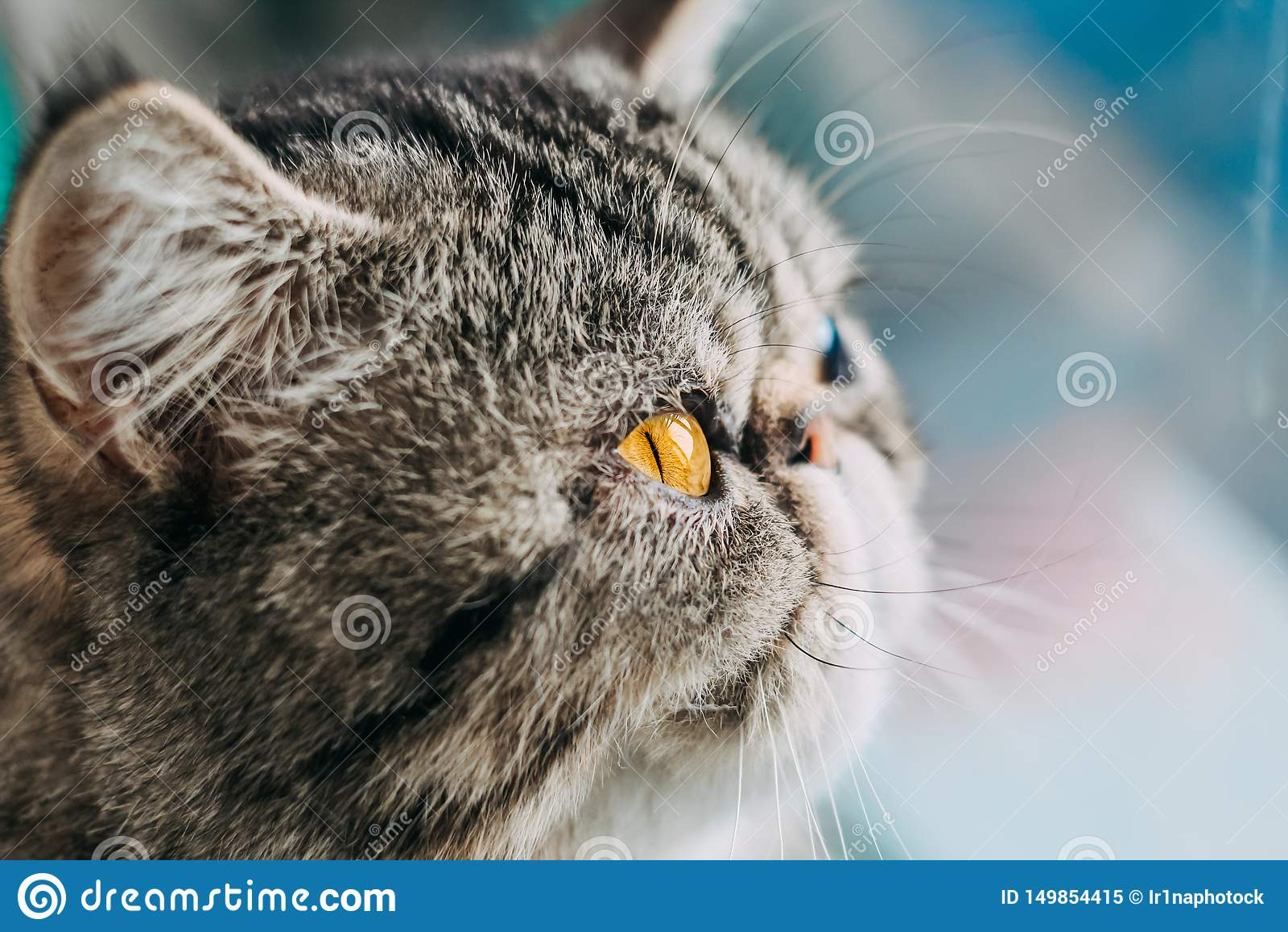De exotische Shorthair-macrofoto van het kattenras het hoofd van de close-upkat met oranje oog
