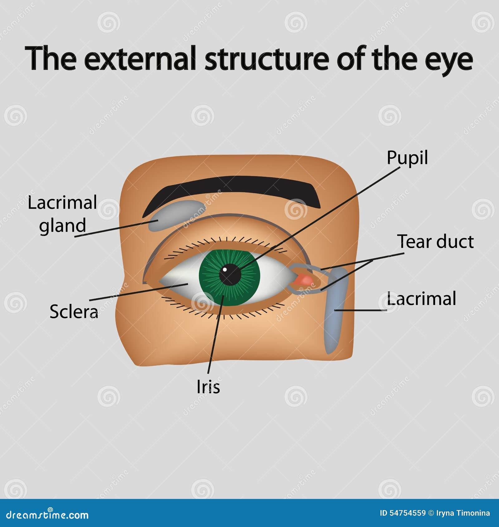 De externe structuur van het oog Vector