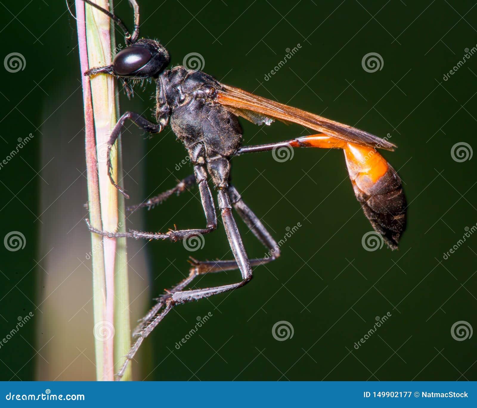 De extreme close-up van wat ik geloof is een draad-verspilde wesp die - mond op lang gras/riet gebruiken - in het Houten Centrum