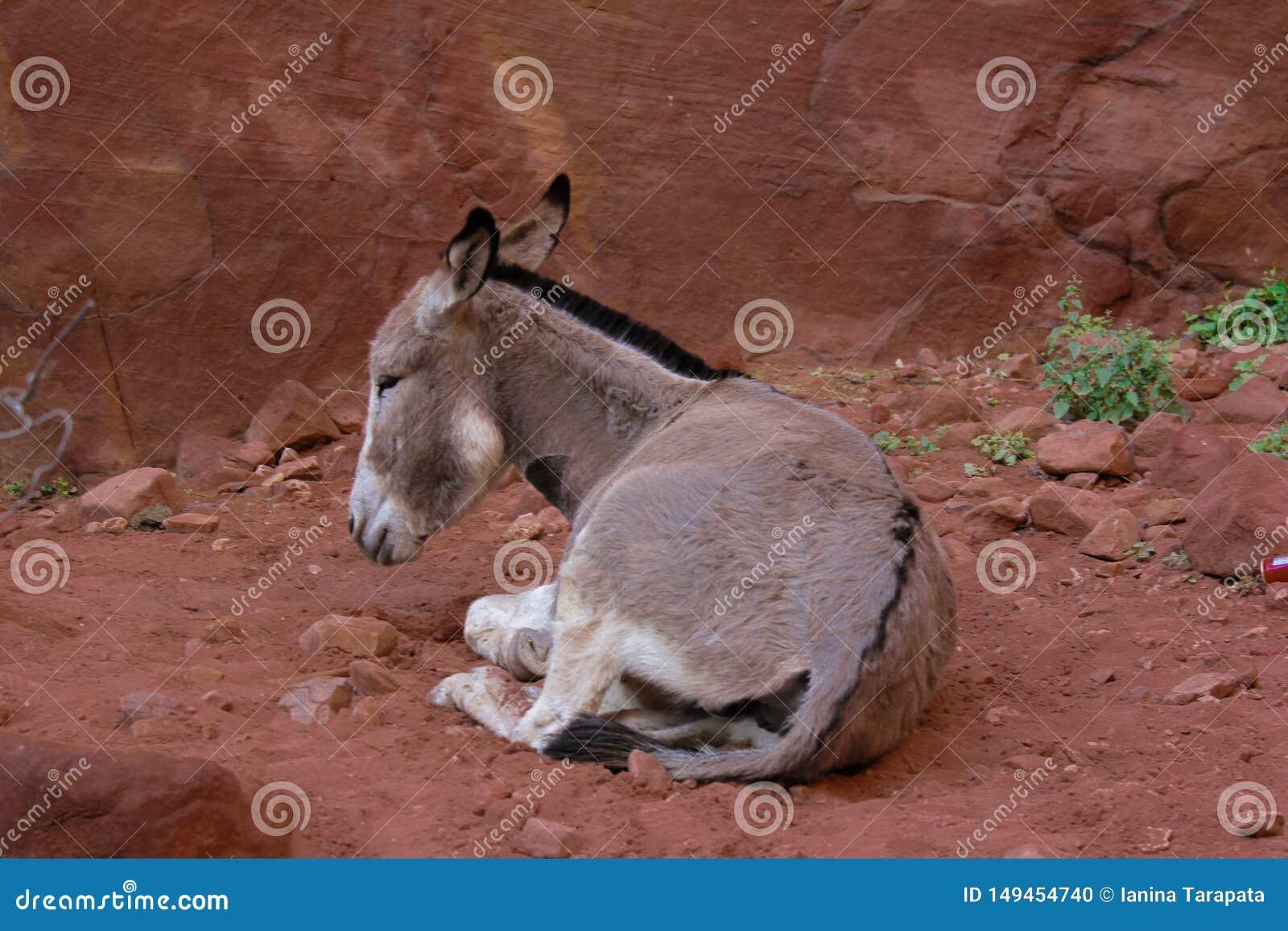 De ezel rust in Petra Jordan