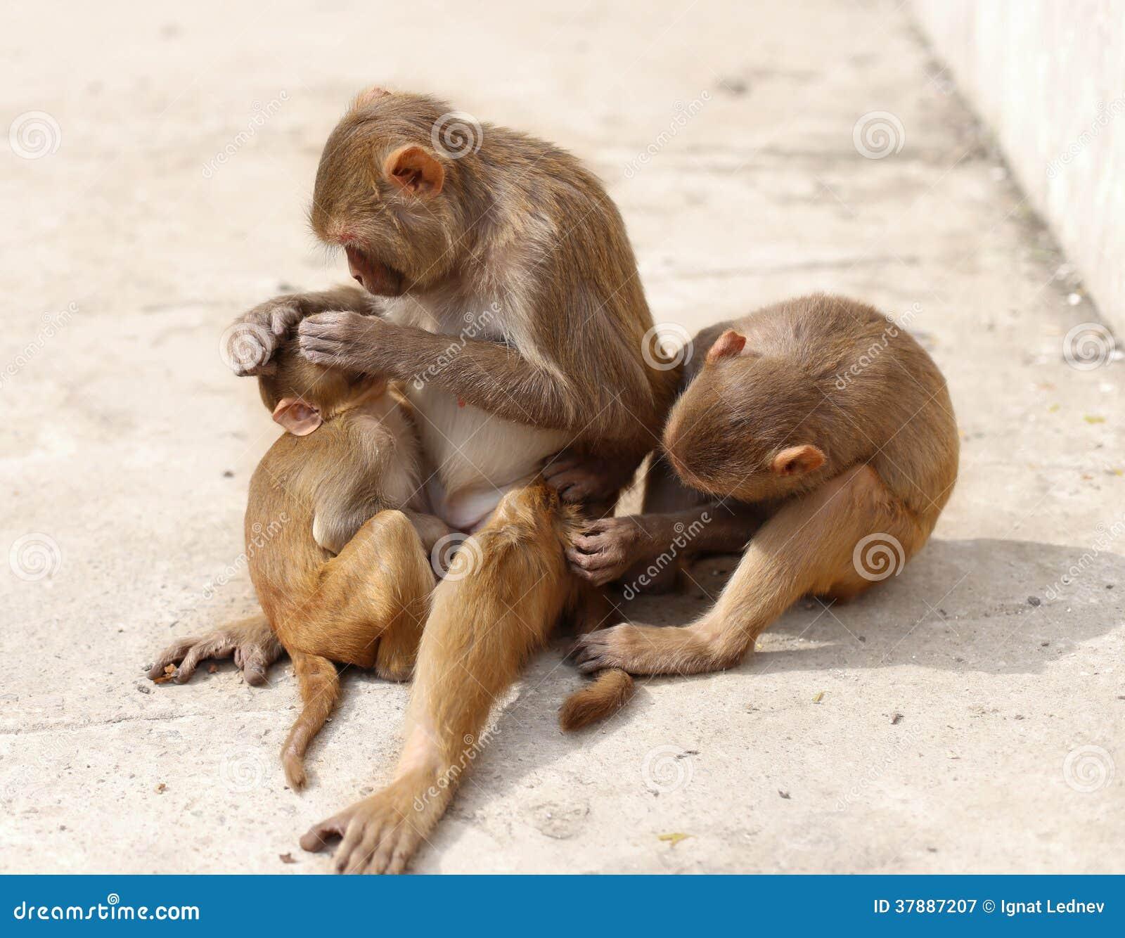 De Familie van de aap