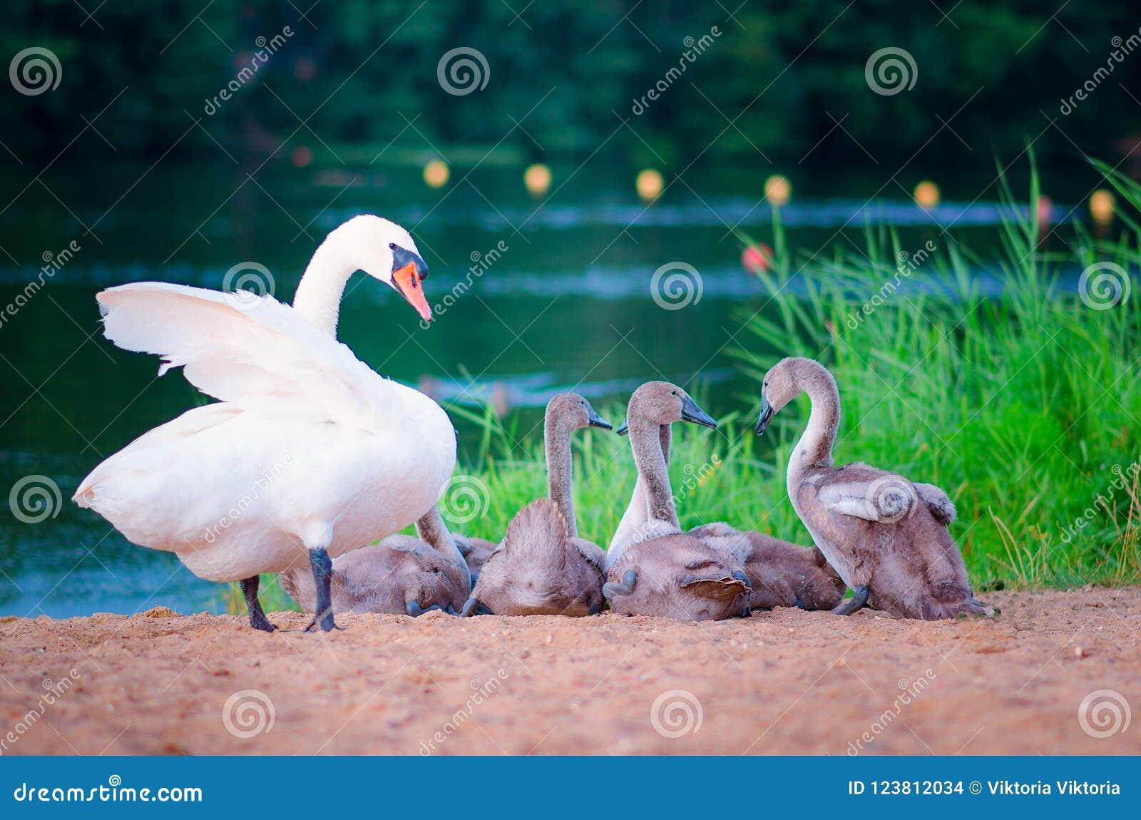 De familie van de zwaan op het meer
