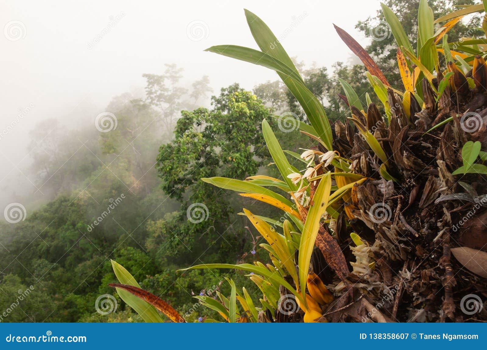 De fantastische tropische bosmening, mooie orchideeën is in bloei in de klip Luifel van altijdgroene bos en mistachtergronden Tha
