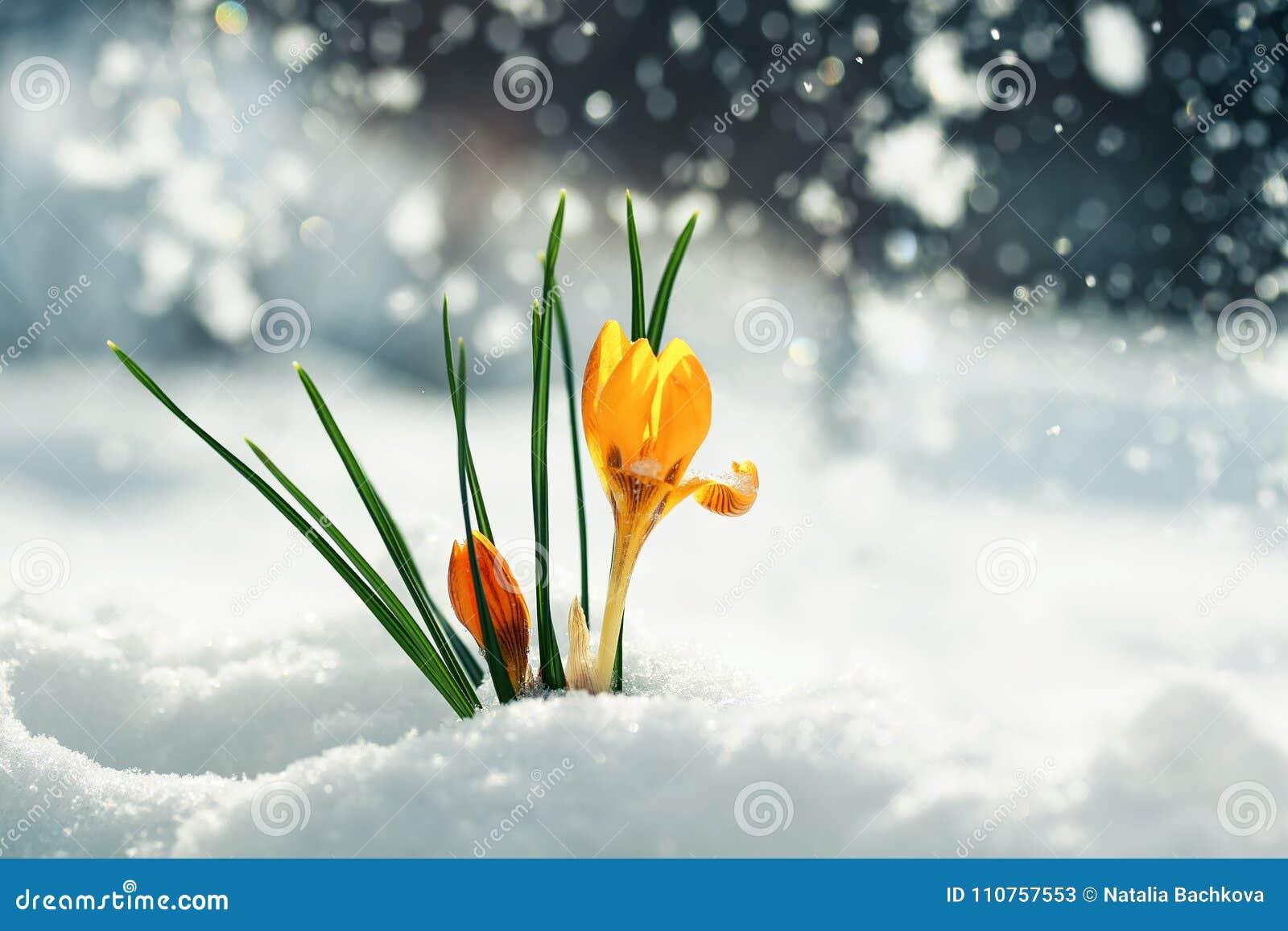 De feestelijke heldere gele krokussen van bloemensneeuwklokjes maken hun manier