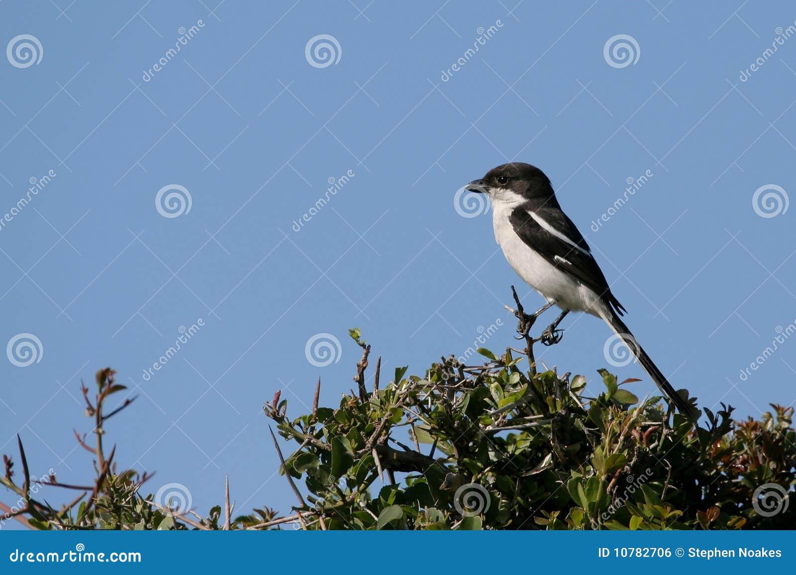 De fiscale Vogel van het Klauwier