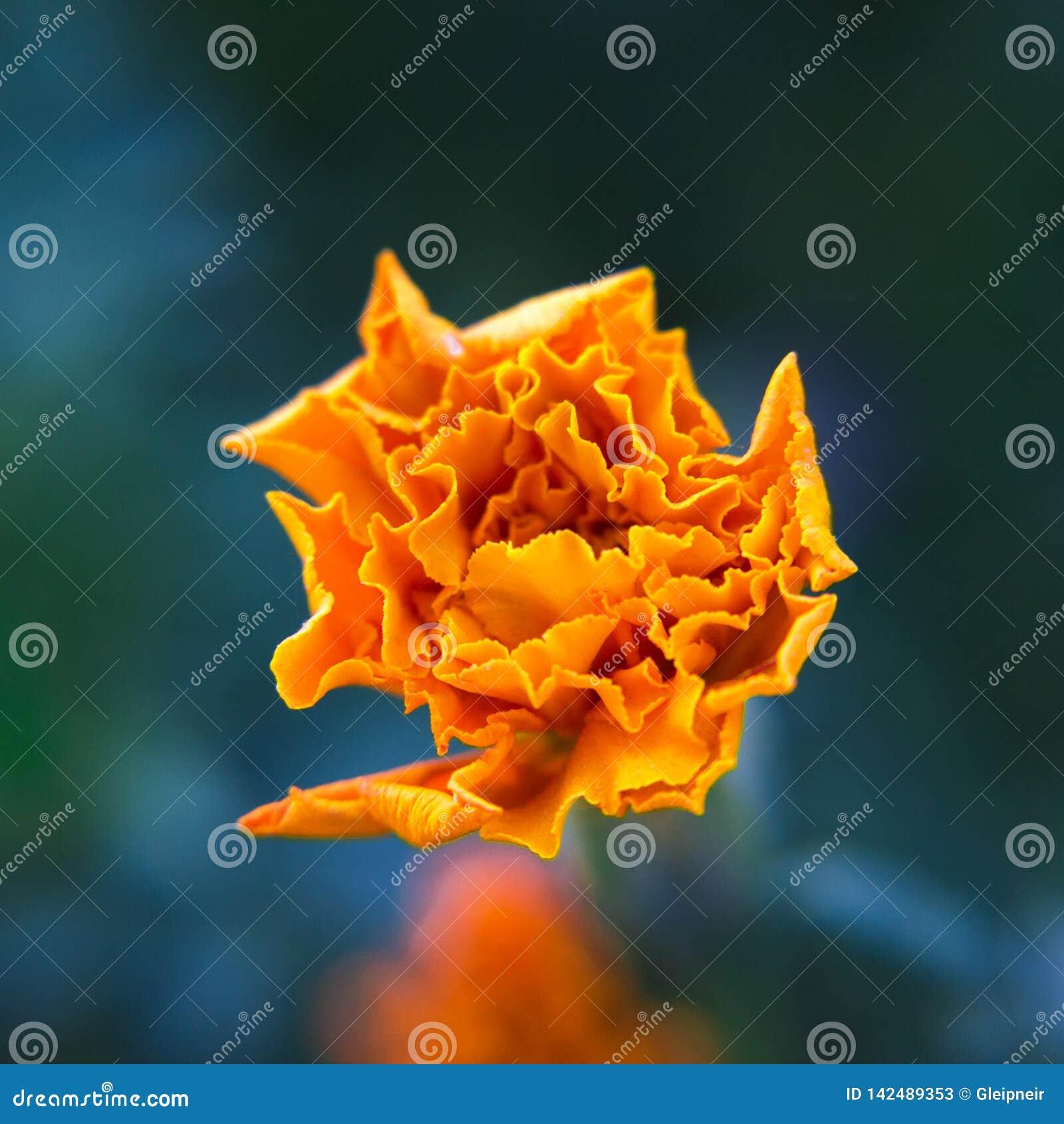 De fleur décorative de souci plan rapproché vibrant orange et medicative