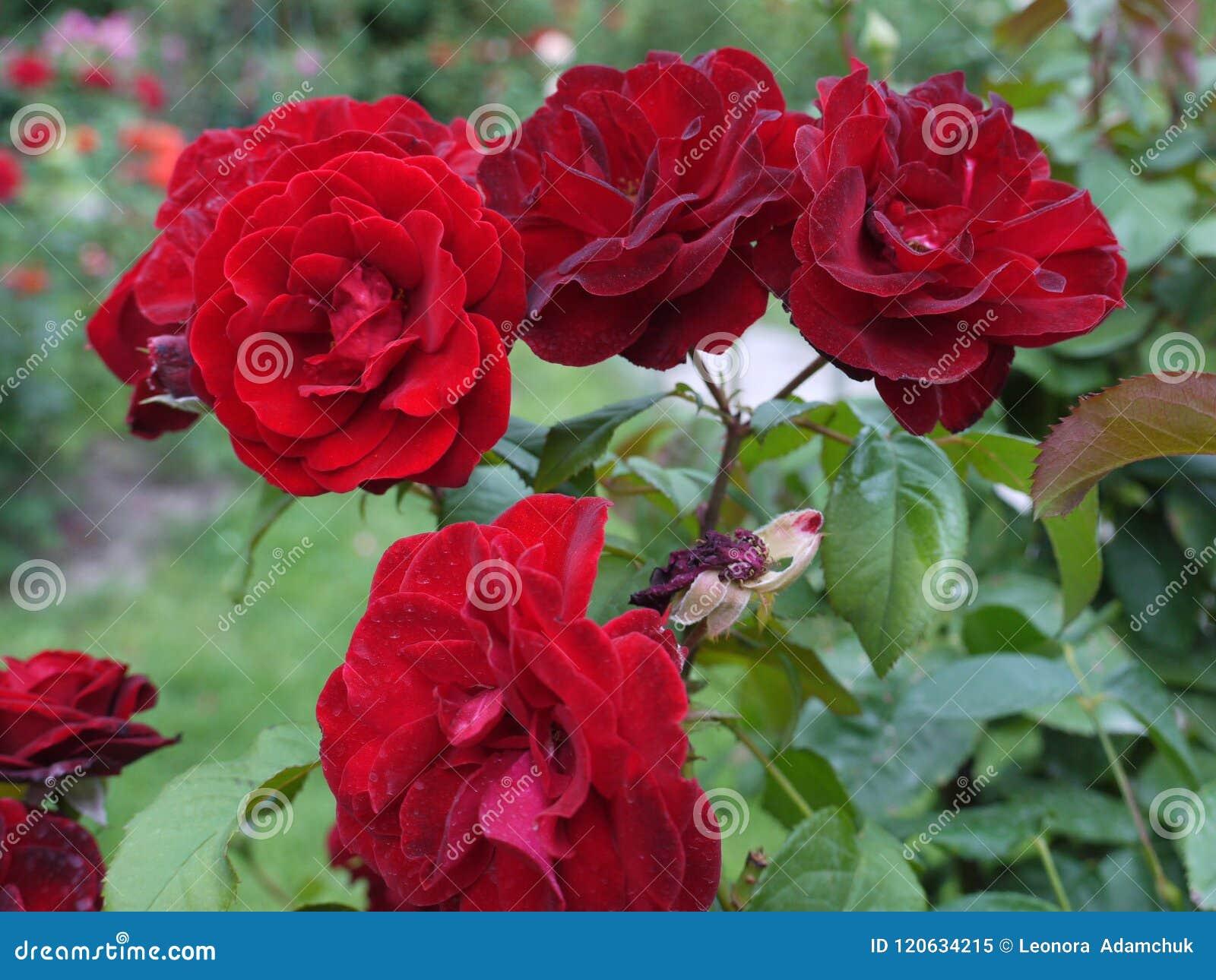 De fluweelbloemblaadjes van rode rozen zijn eenvoudig fascinerend met hun tederheid en schoonheid Zo wilt u van hun fantasievol g