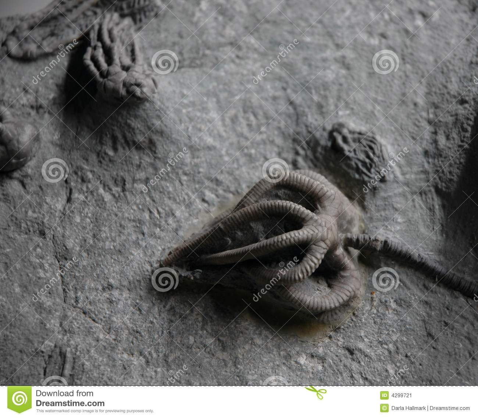 De fossielen van Crinoid