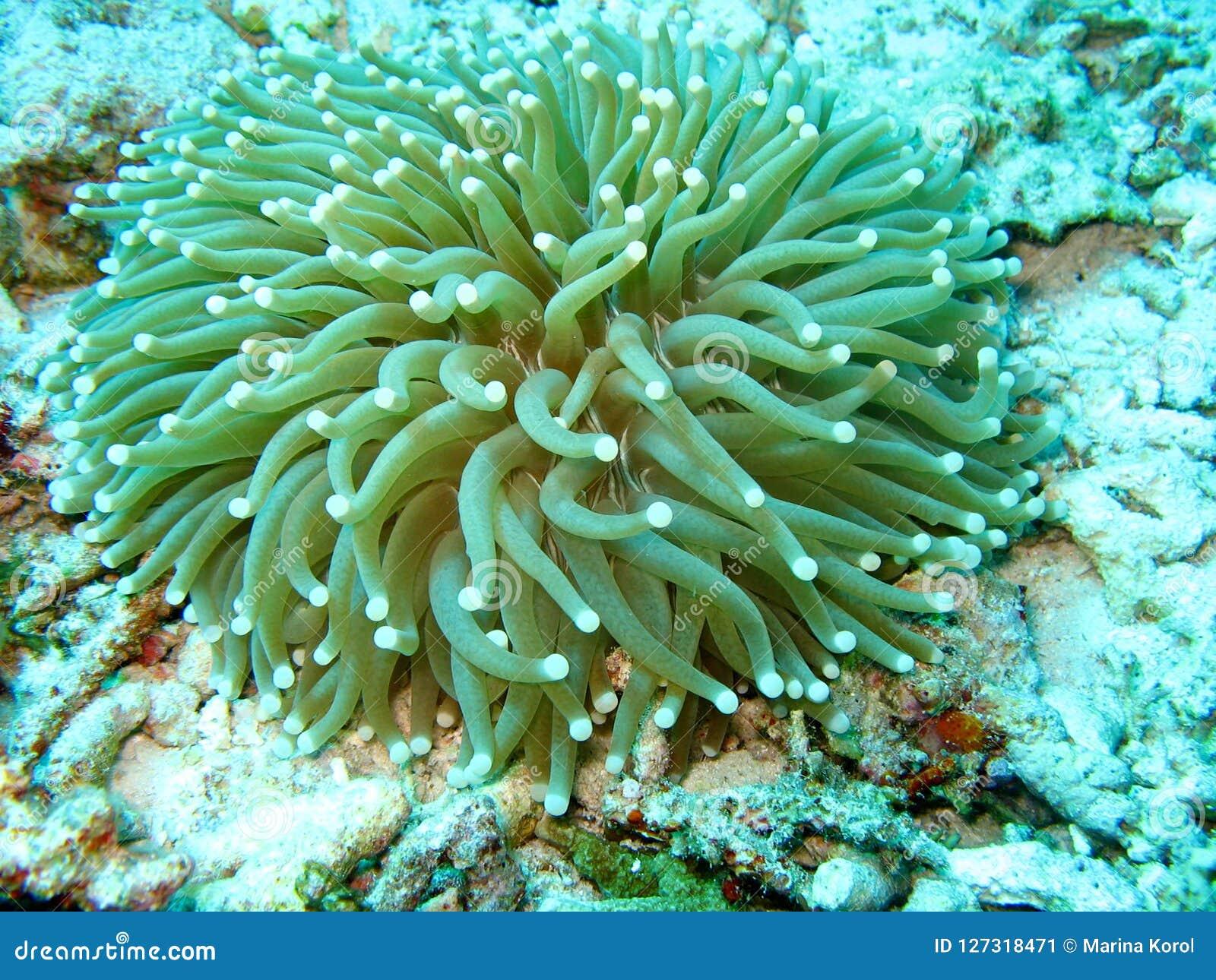 De foto van de zeeanemoon De overzeese installatie heeft veel tentakels van blauwe kleur De koralen zijn rond de installatie