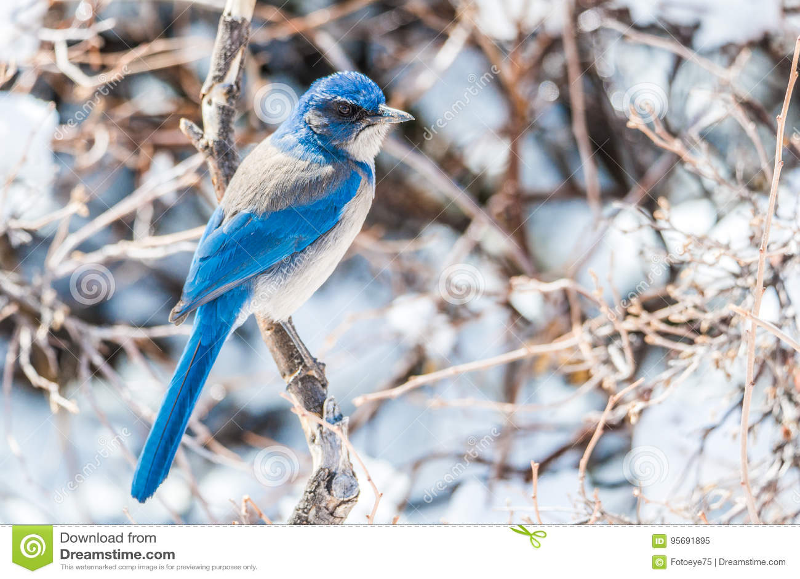 De fotografie van de de wintervogel - blauwe vogel op sneeuw behandelde struikboom