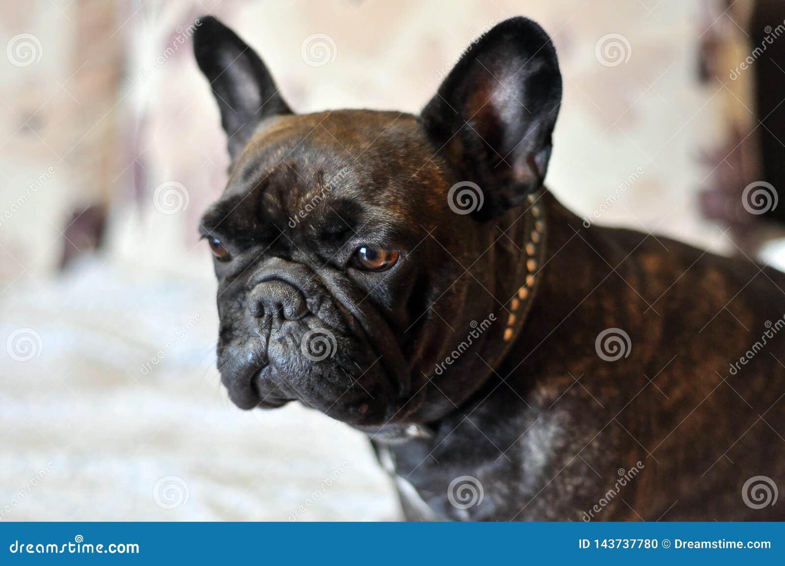 De Franse Buldog is een hond, beste vriend