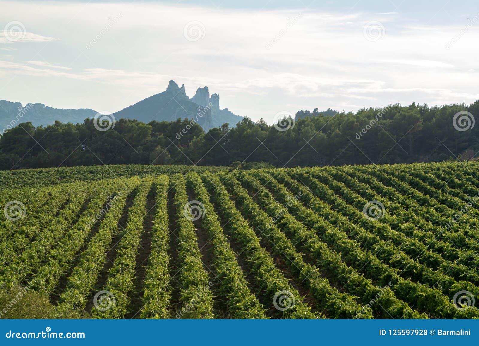 De Franse rode AOC-wijndruiven planten, nieuwe oogst binnen van wijndruif