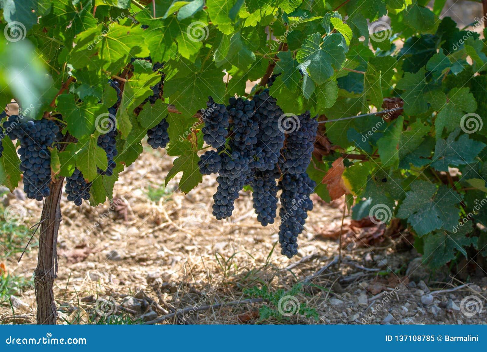 De Franse rode AOC-wijndruiven planten, nieuwe oogst van wijndruif in Frankrijk, Vaucluse, Gigondas-domein of chateauwijngaard De