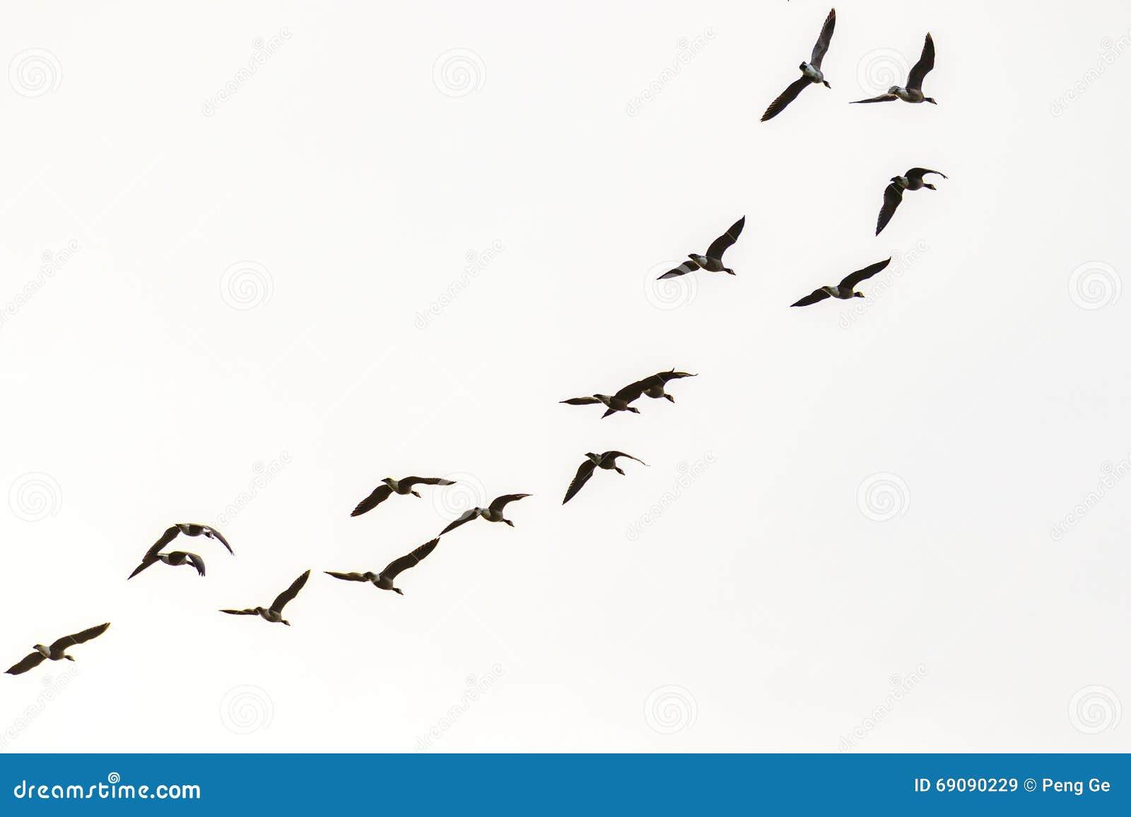 De Ganzen van Canada het vliegen