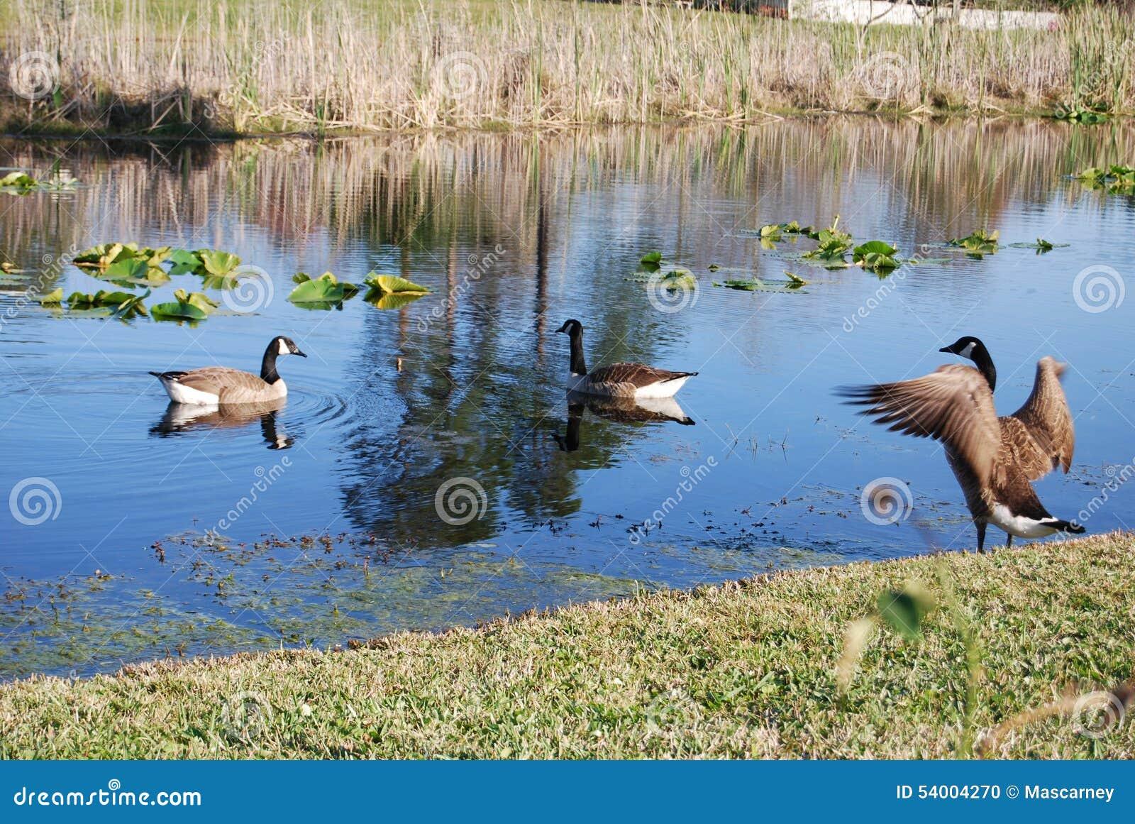 De ganzen van Canada op het meer