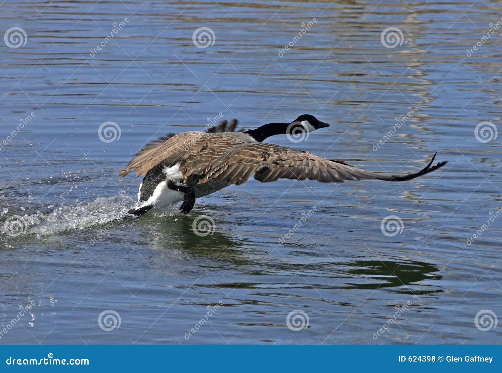 De ganzen van Canada tijdens de vlucht