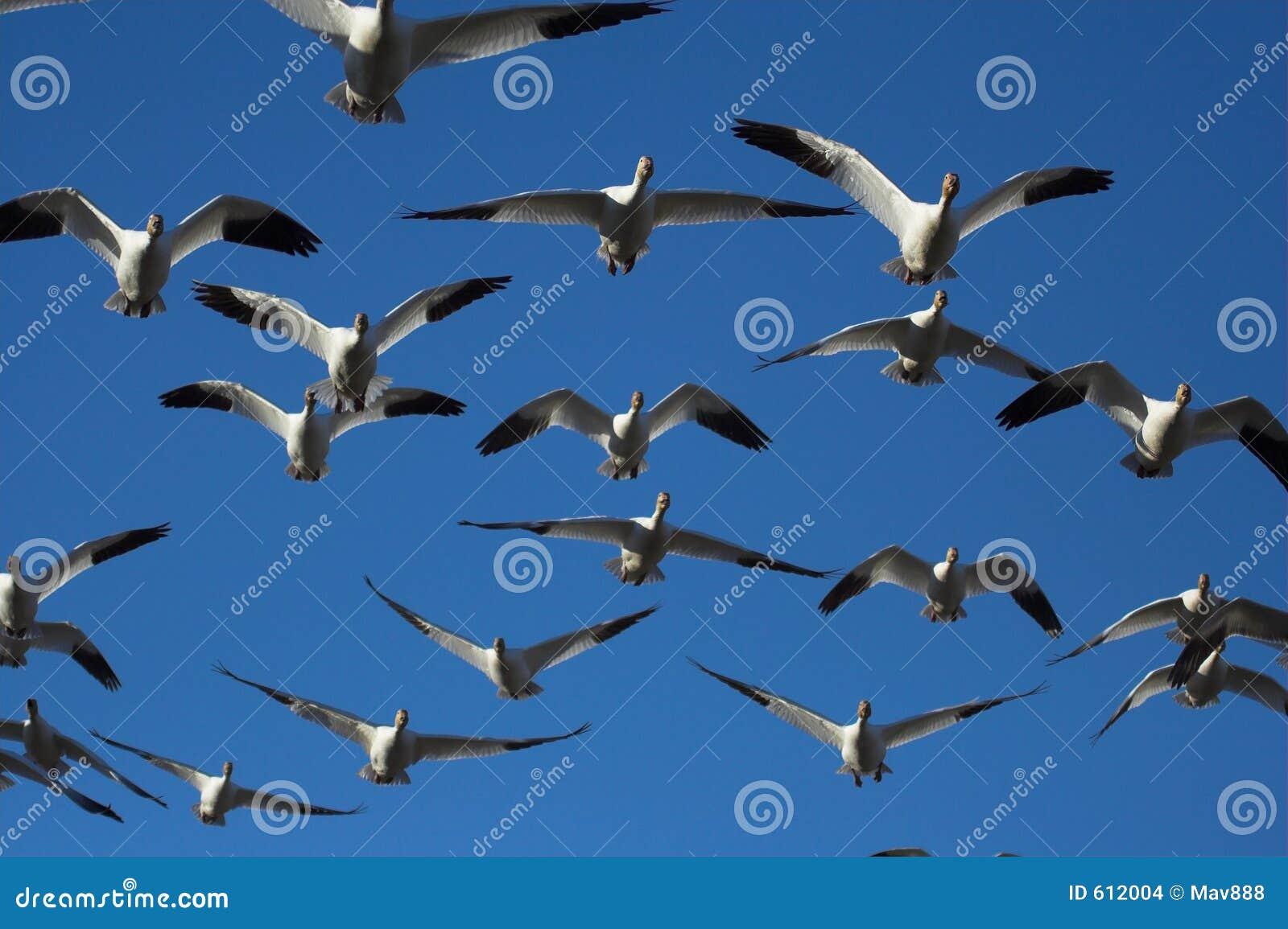 De ganzen van de sneeuw het vliegen