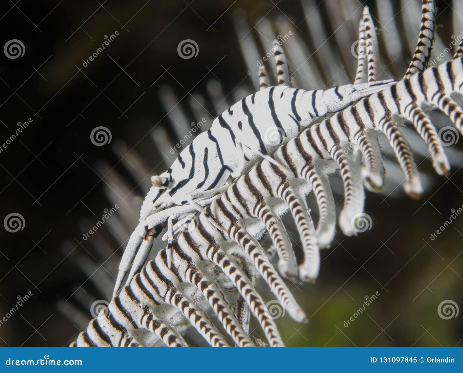 De garnalen van luipaardcrinoid