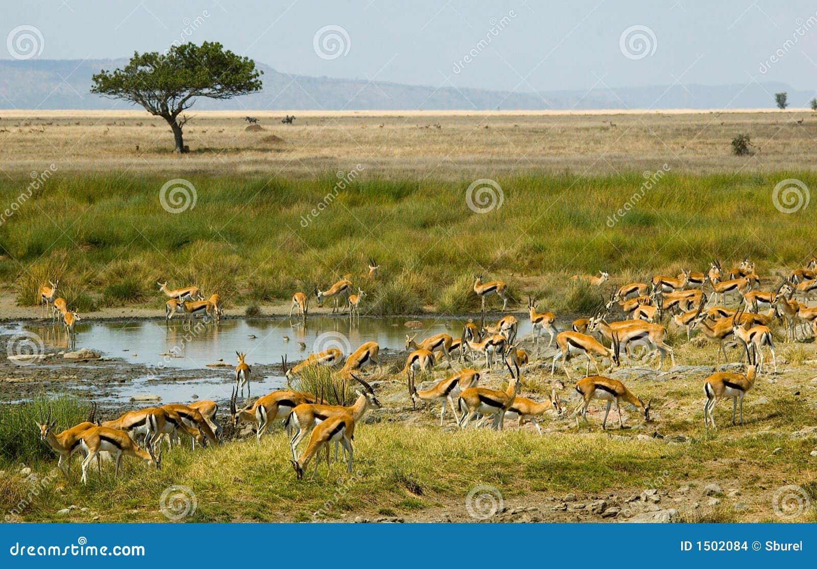De gazelles van Thompson