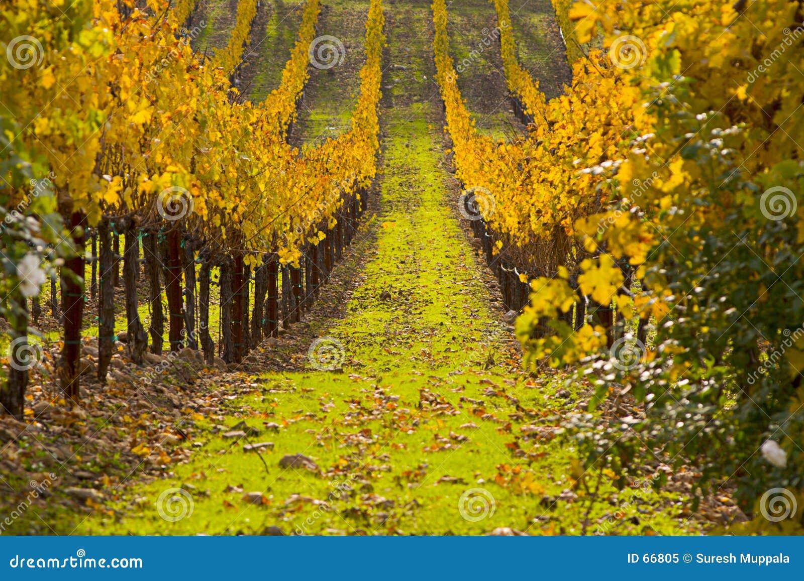 De Gebieden van de druif
