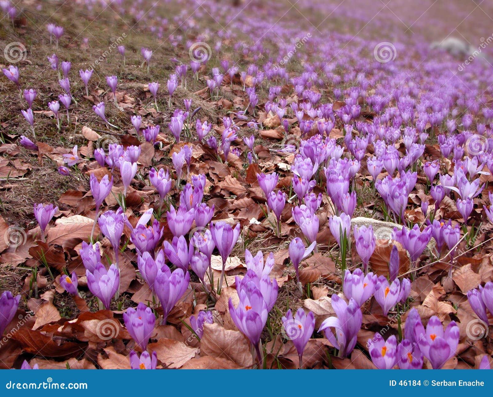 De gebieden van de krokus in de lente