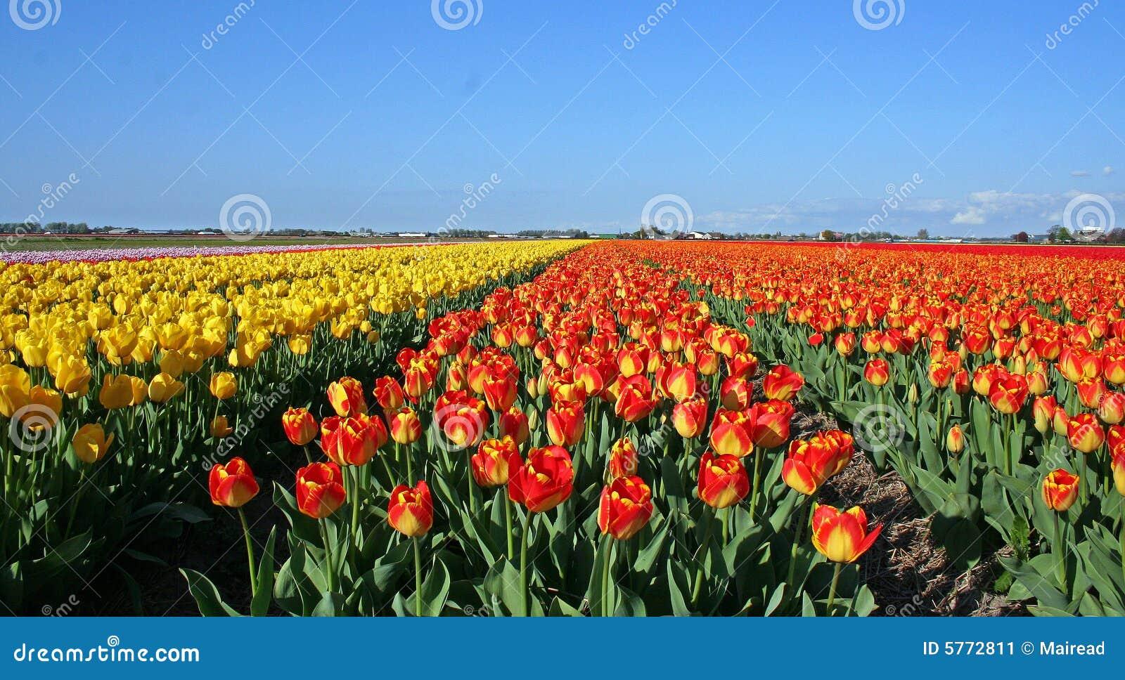 De gebieden van de tulp