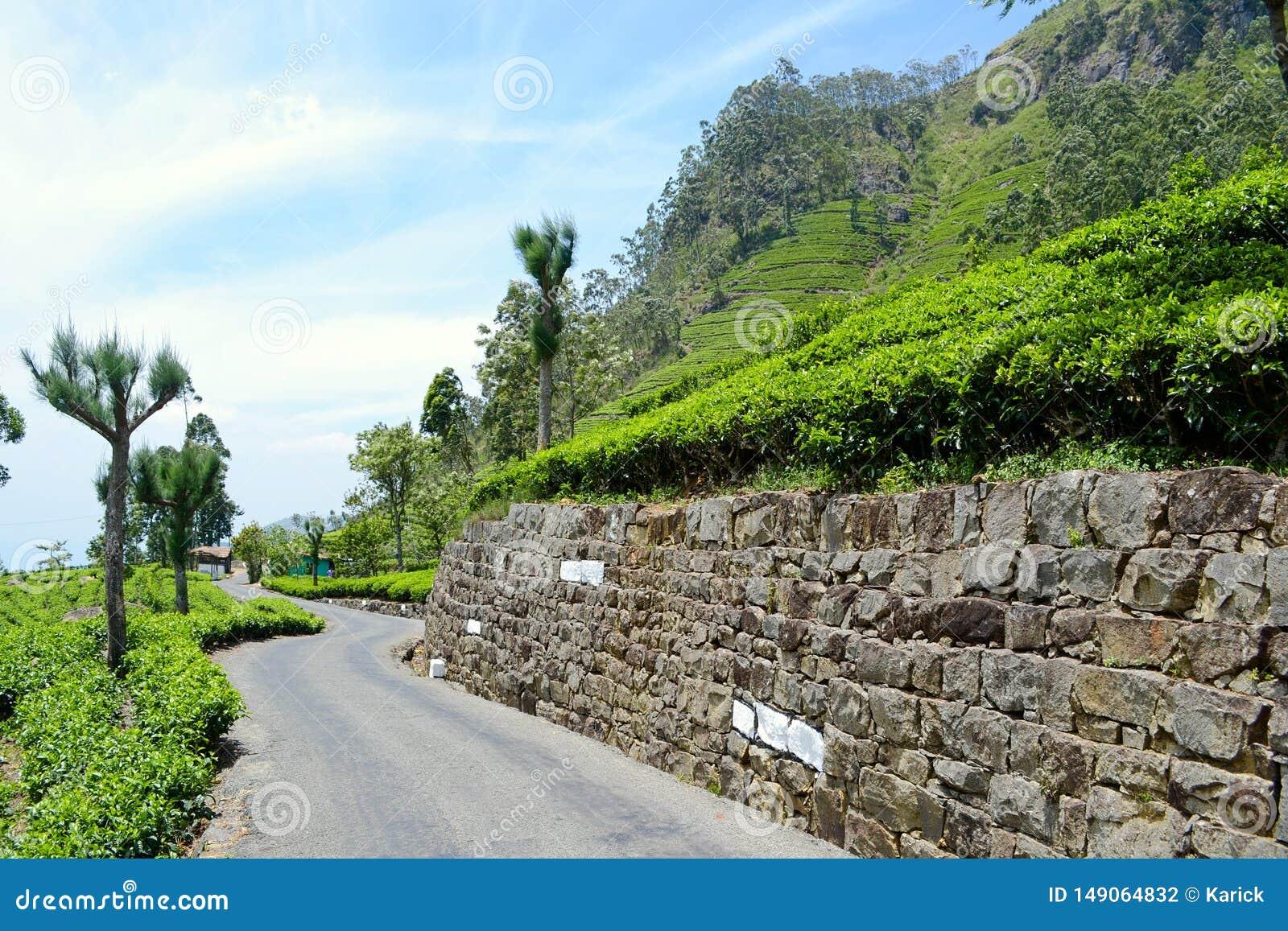 De gebogen aanplantingen van de de trogthee van de asfaltweg in Sri Lanka
