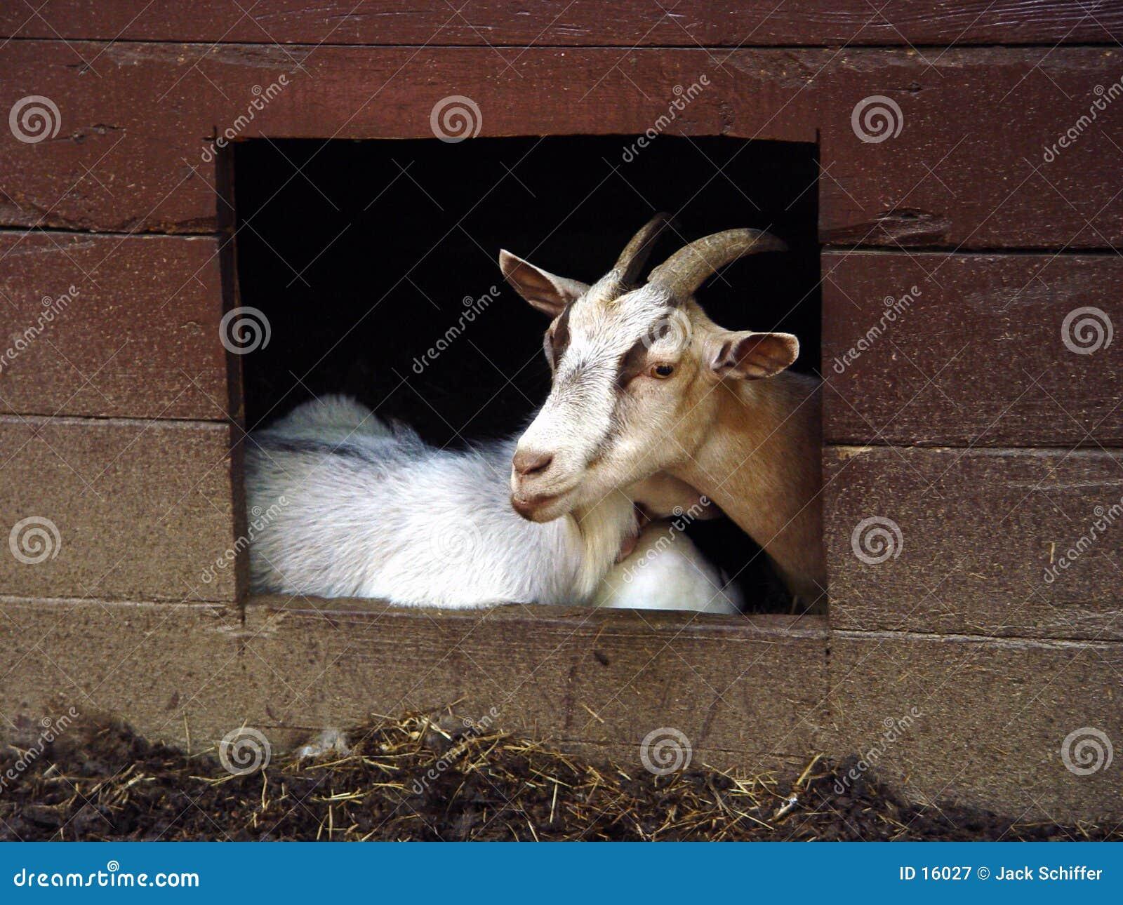 De geit stelt