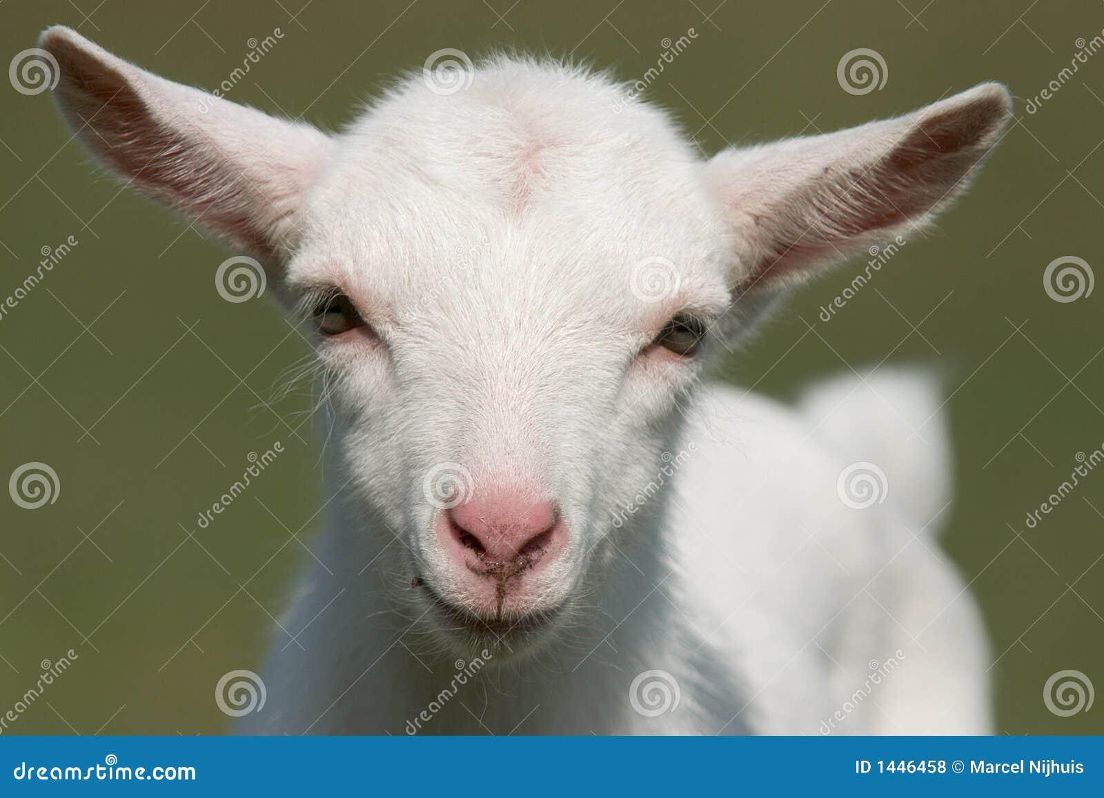 cute goat vector