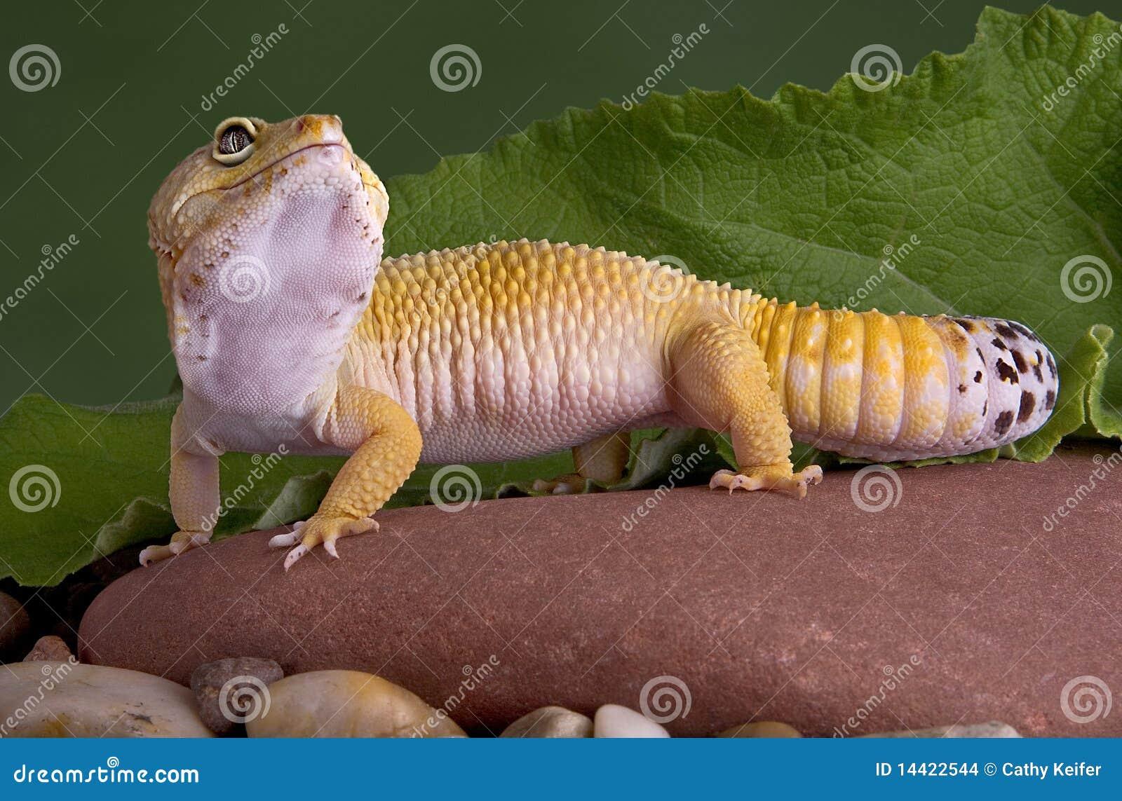 De gekko die van de luipaard omhoog eruit ziet