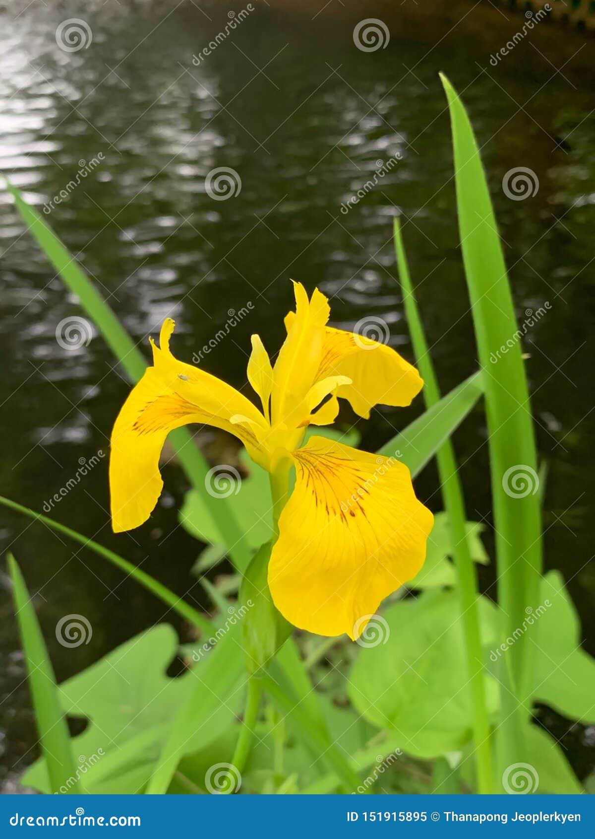 De gele bloem bij rivier zijachtergrond