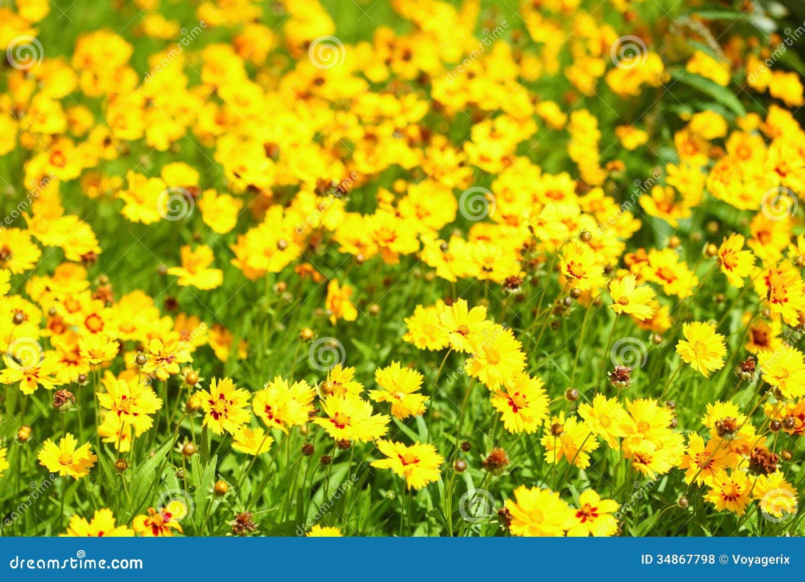 de gele bloemen in de tuin glansten bij zon stock foto