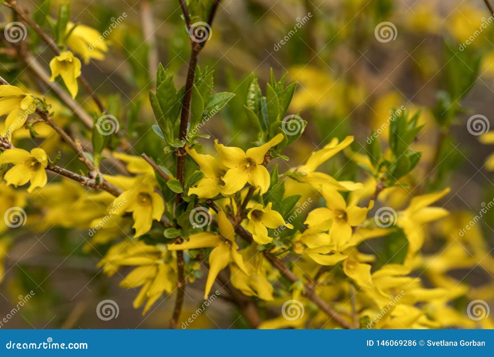 De gele bloemen op een struik in de stad tuinieren op een zonnige de lentedag