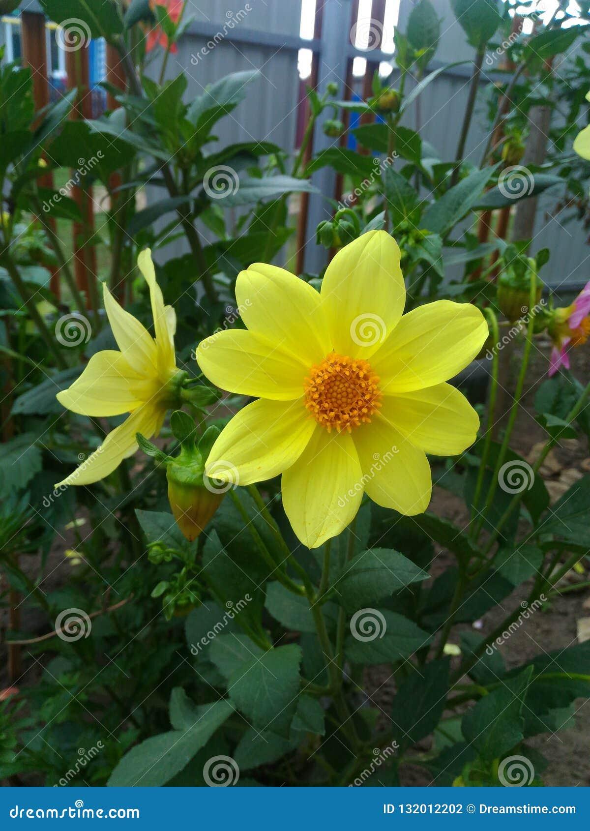 De gele bloemen van Narcissen