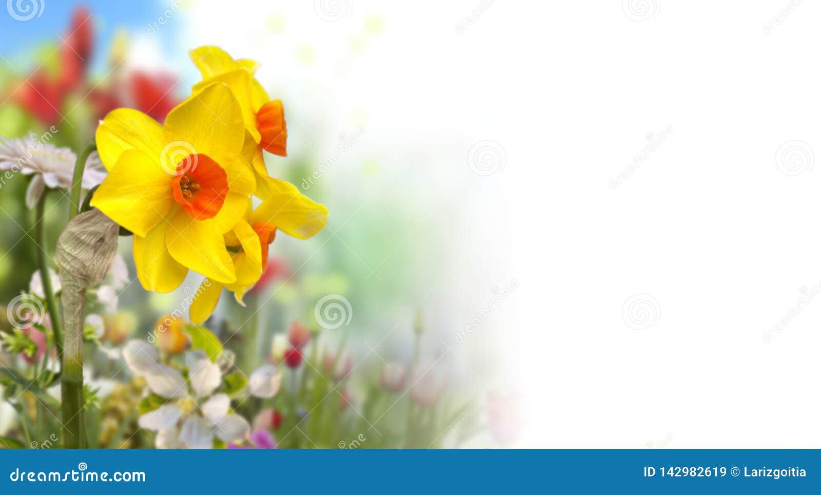 De gele en oranje gele narcissen en defocused gekleurde bloemen in de lentetuin met witte achtergrond op het recht
