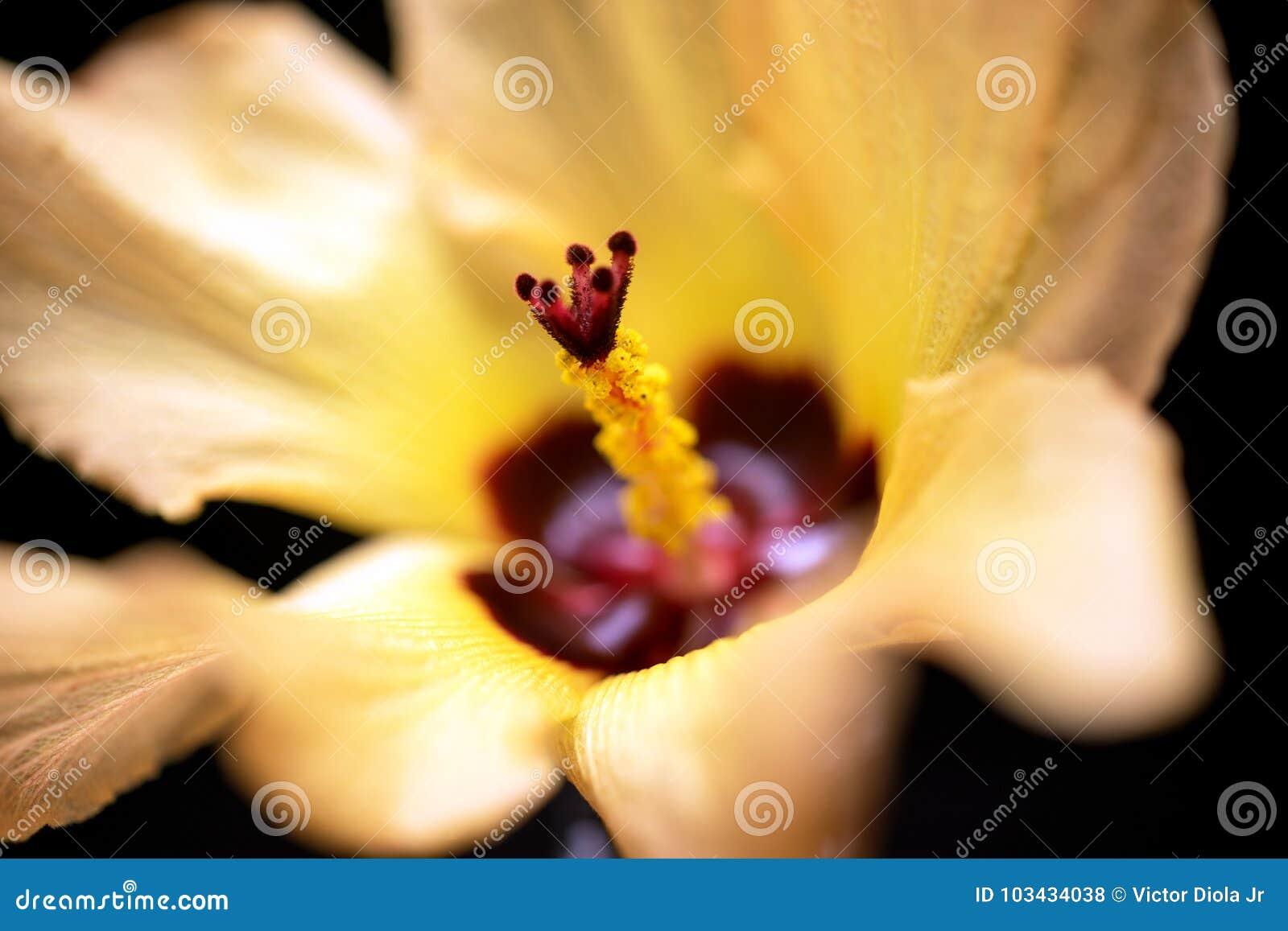De gele en Rode Achtergrond van de Hibiscusbloem