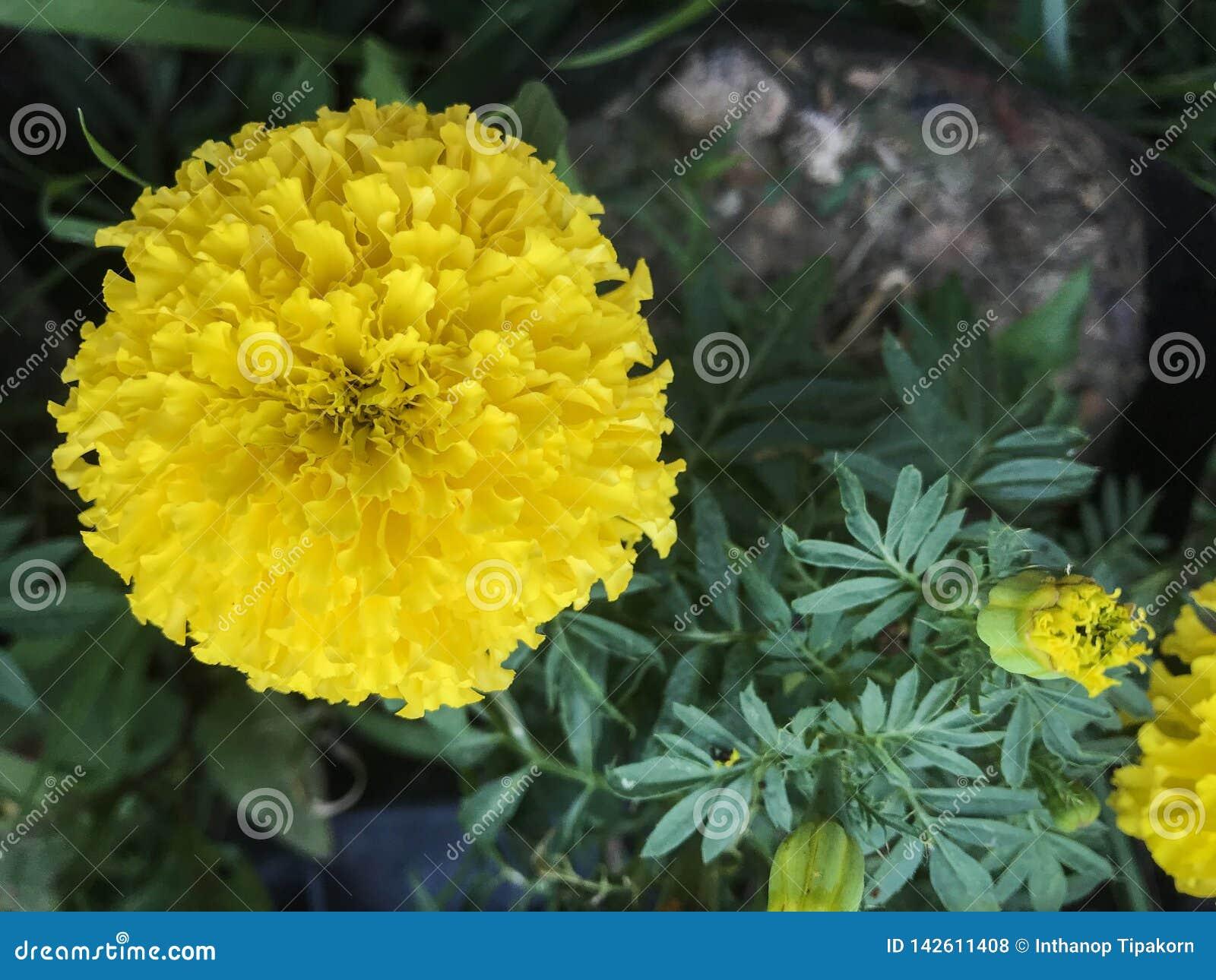 De gele goudsbloem