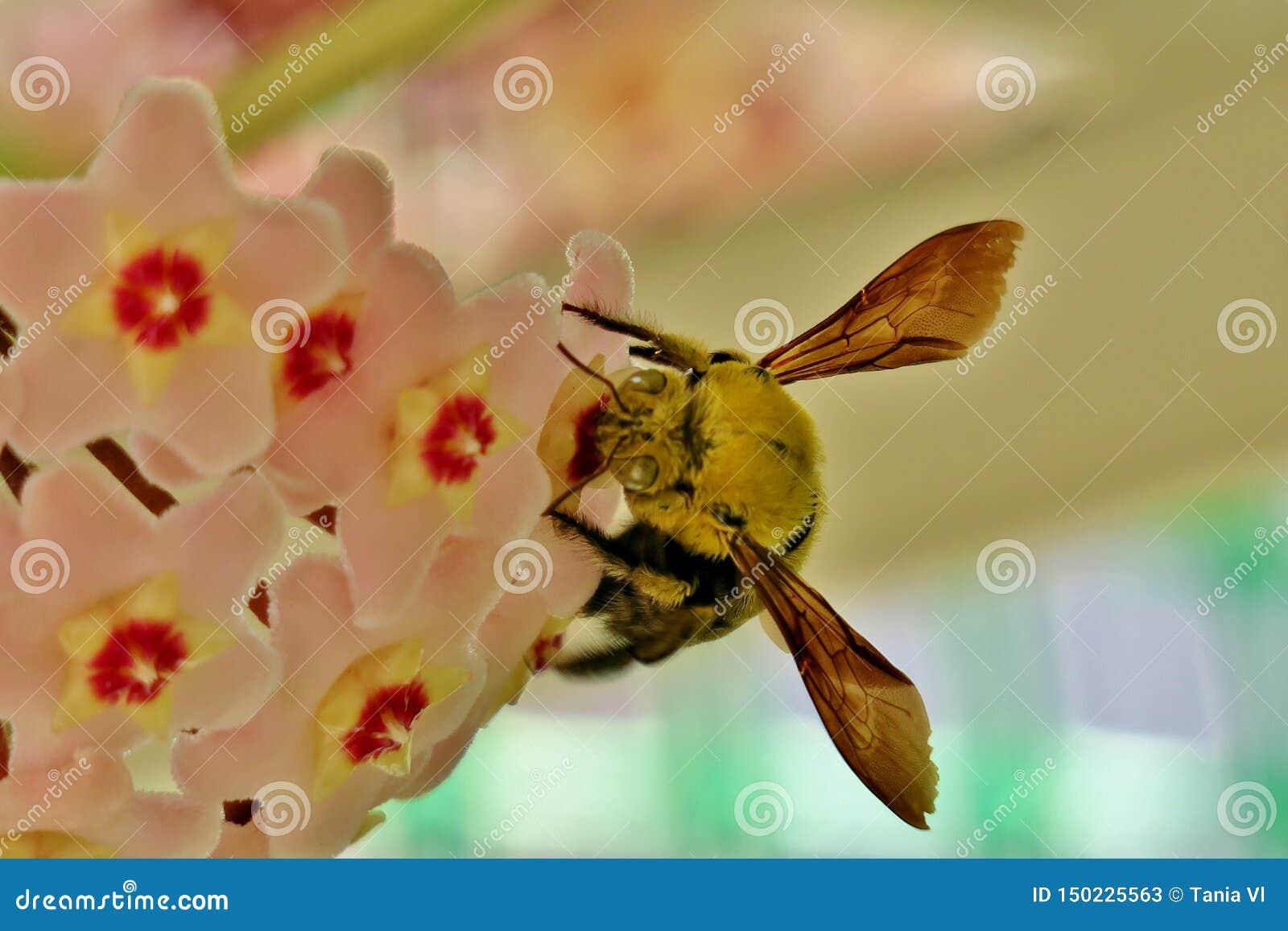 De gele hommel verzamelt stuifmeel van kleine roze bloemen